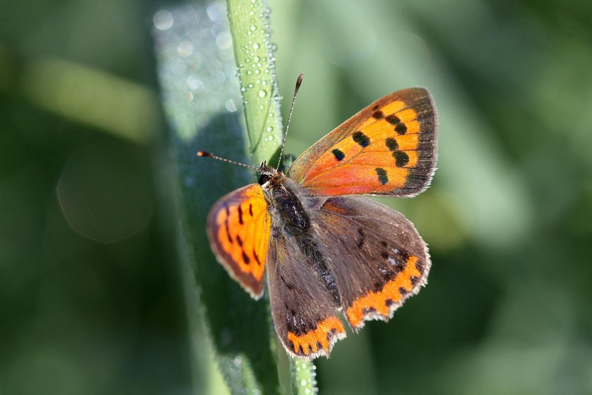 Lycaena phlaeas...