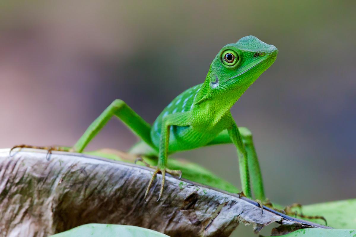Green Tree Lizard...