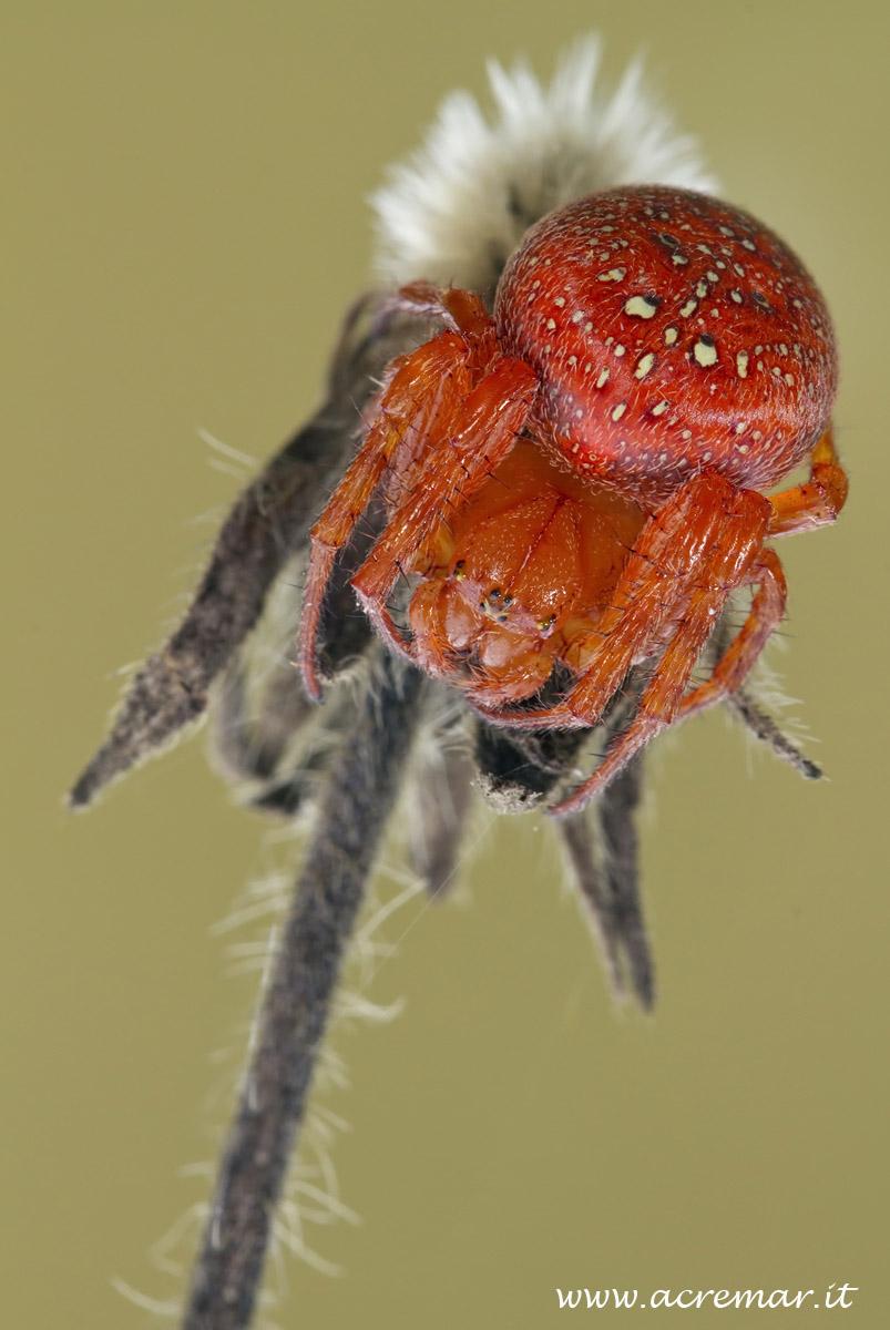 #Arachnida Araneus alsine...