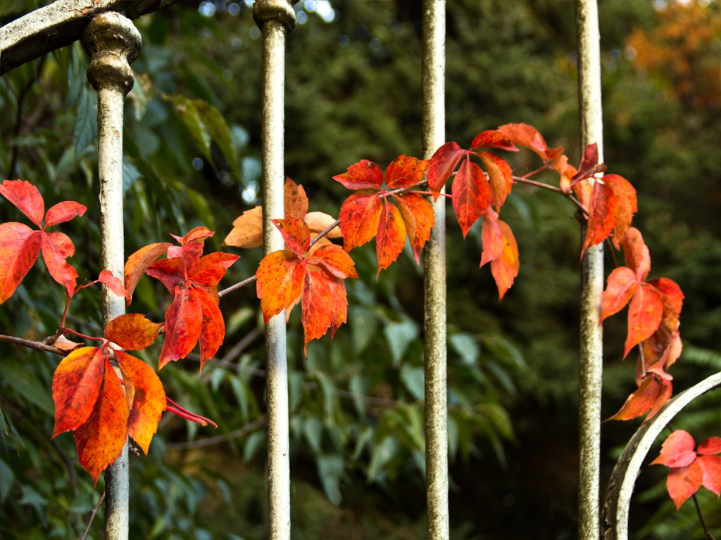 Red ivy...