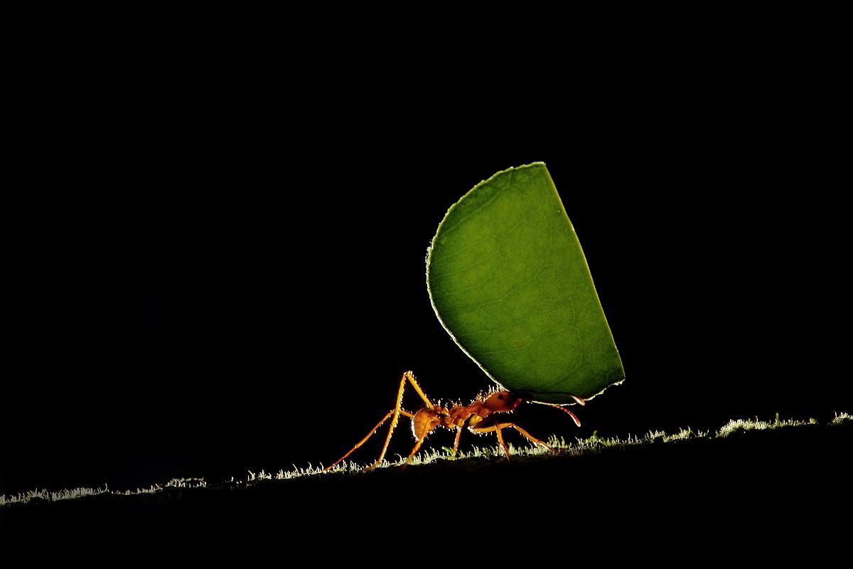 Leaf, Ant, Costa Rica...