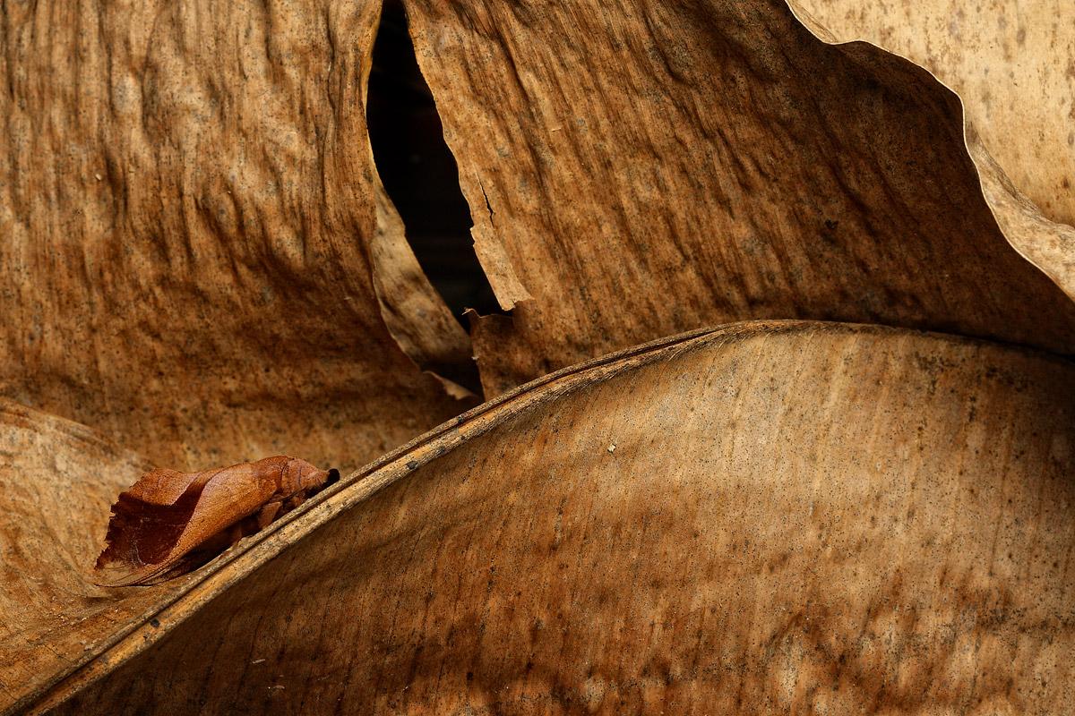 Moth, Borneo...