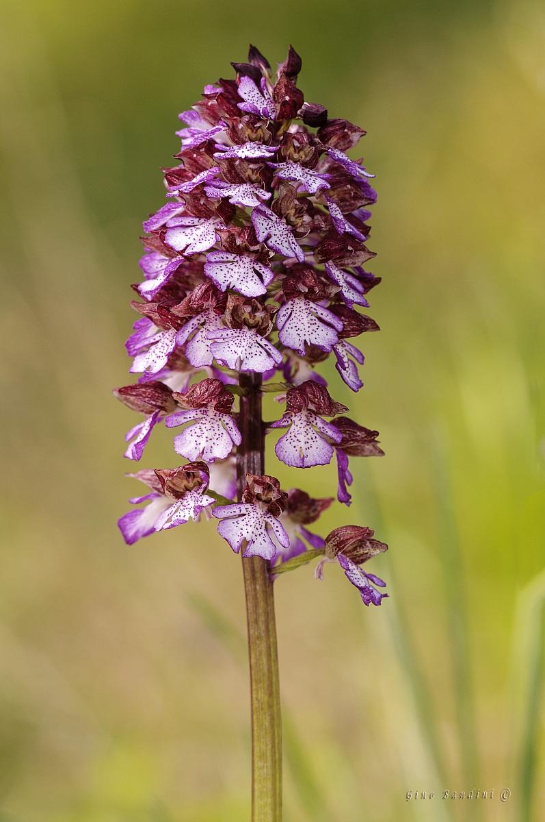Orchis purpurea 2...