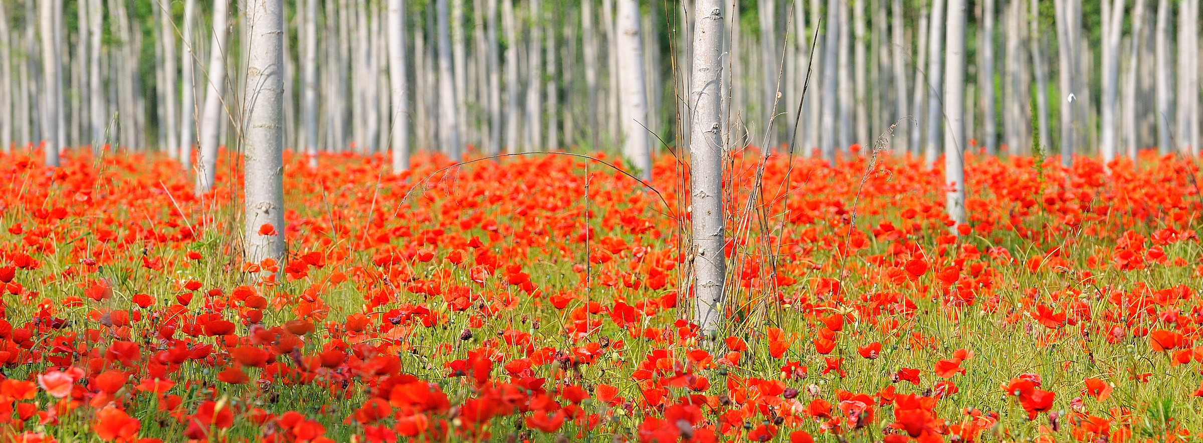 Poplars and Poppies...