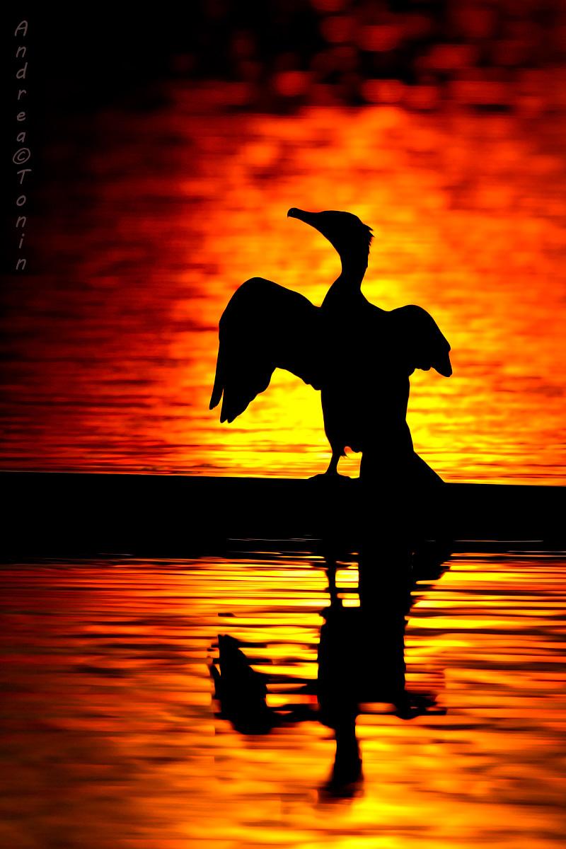 Cormorant 2...