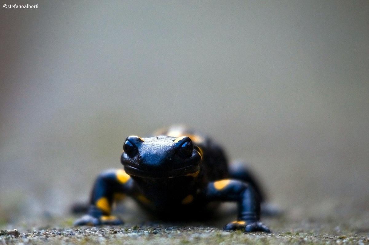 Salamander...