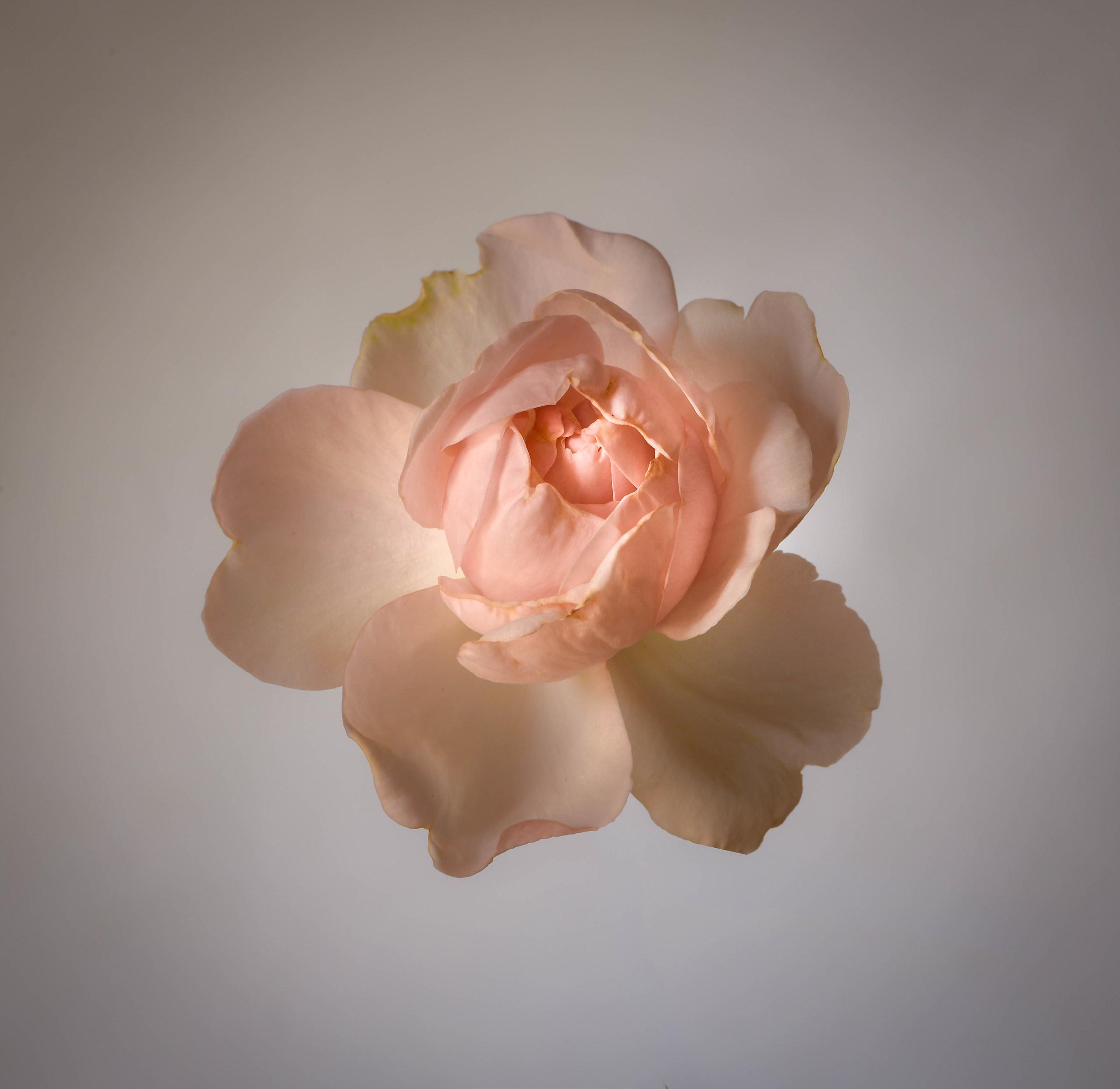 Rosa St. Swithun....