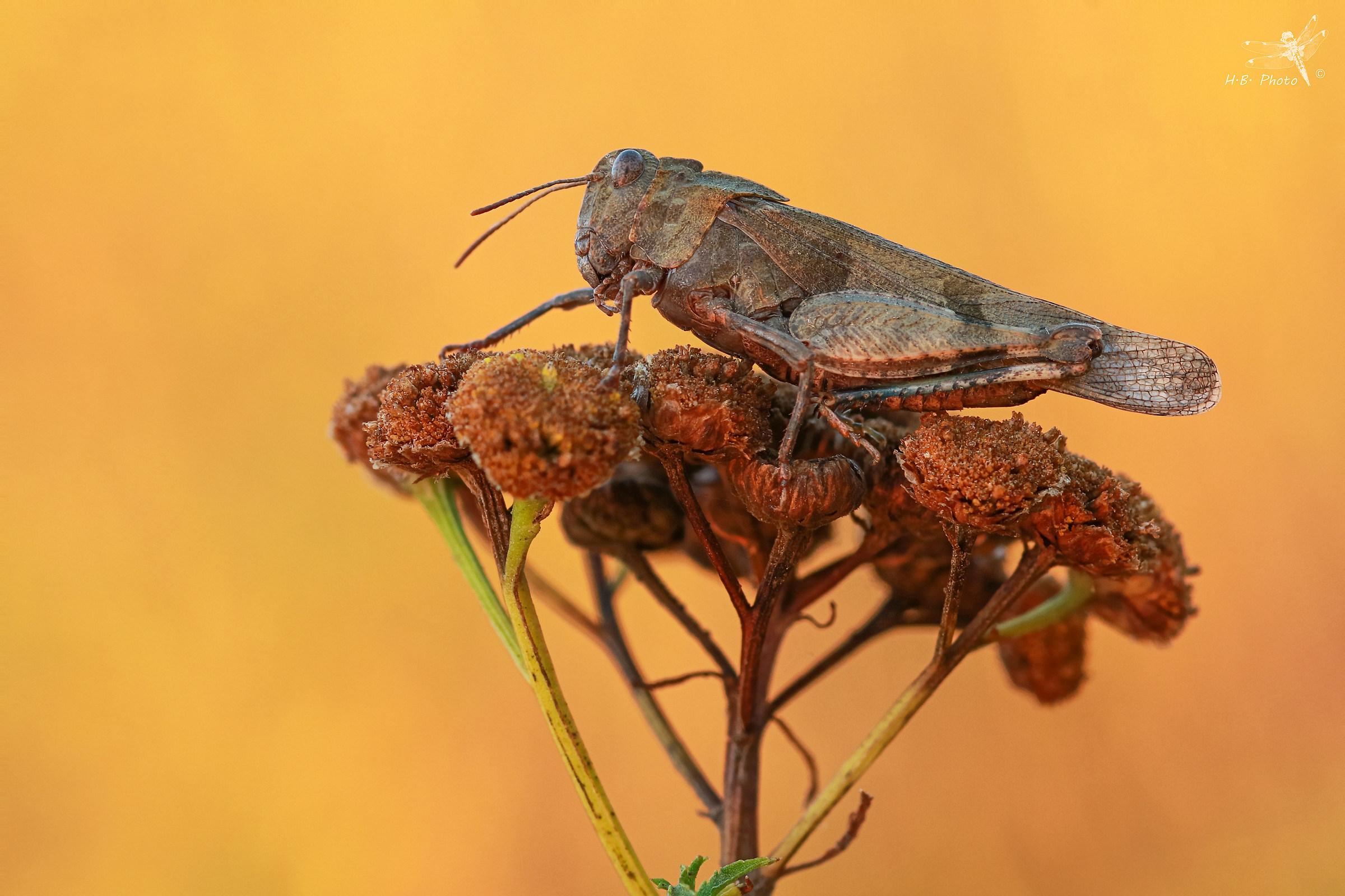 Oedipoda caerulescens...