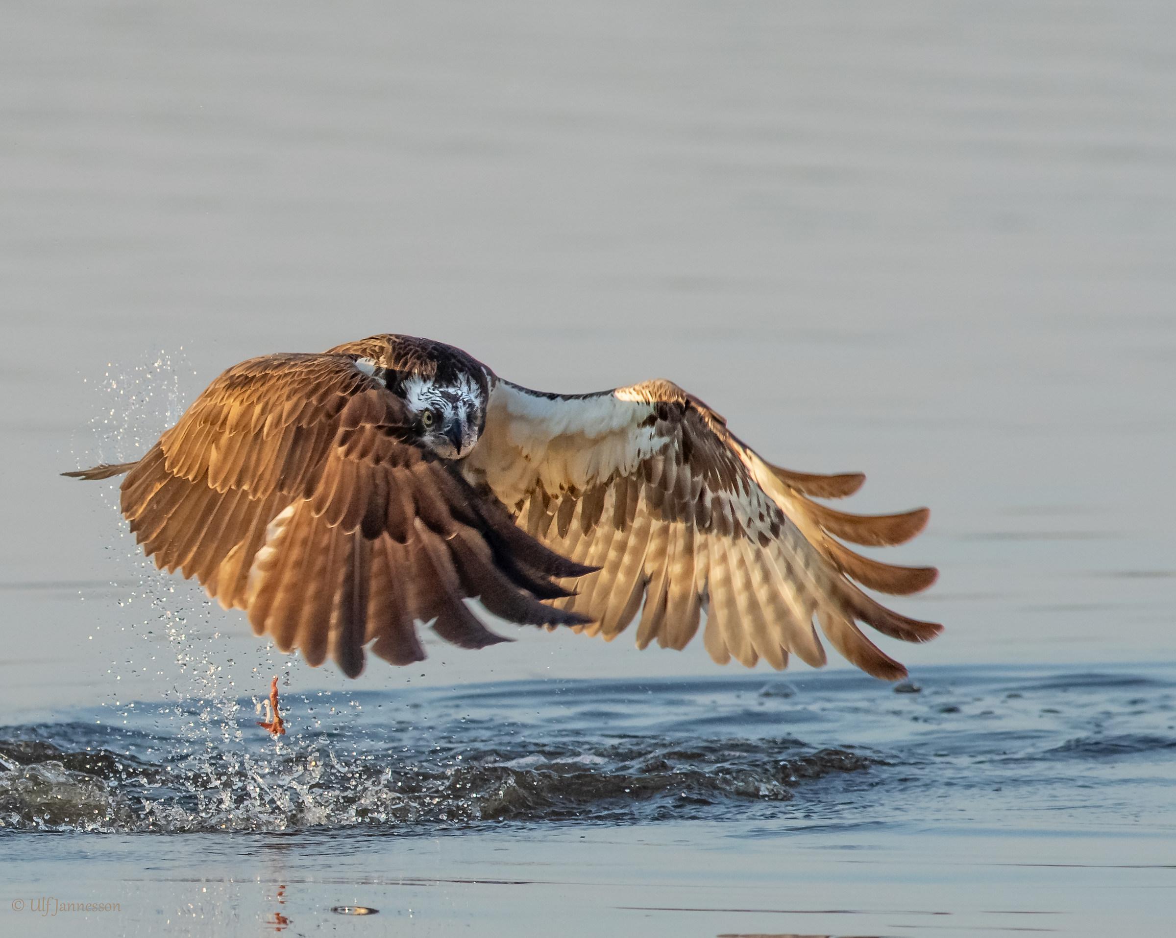 Osprey, Hello photografer...