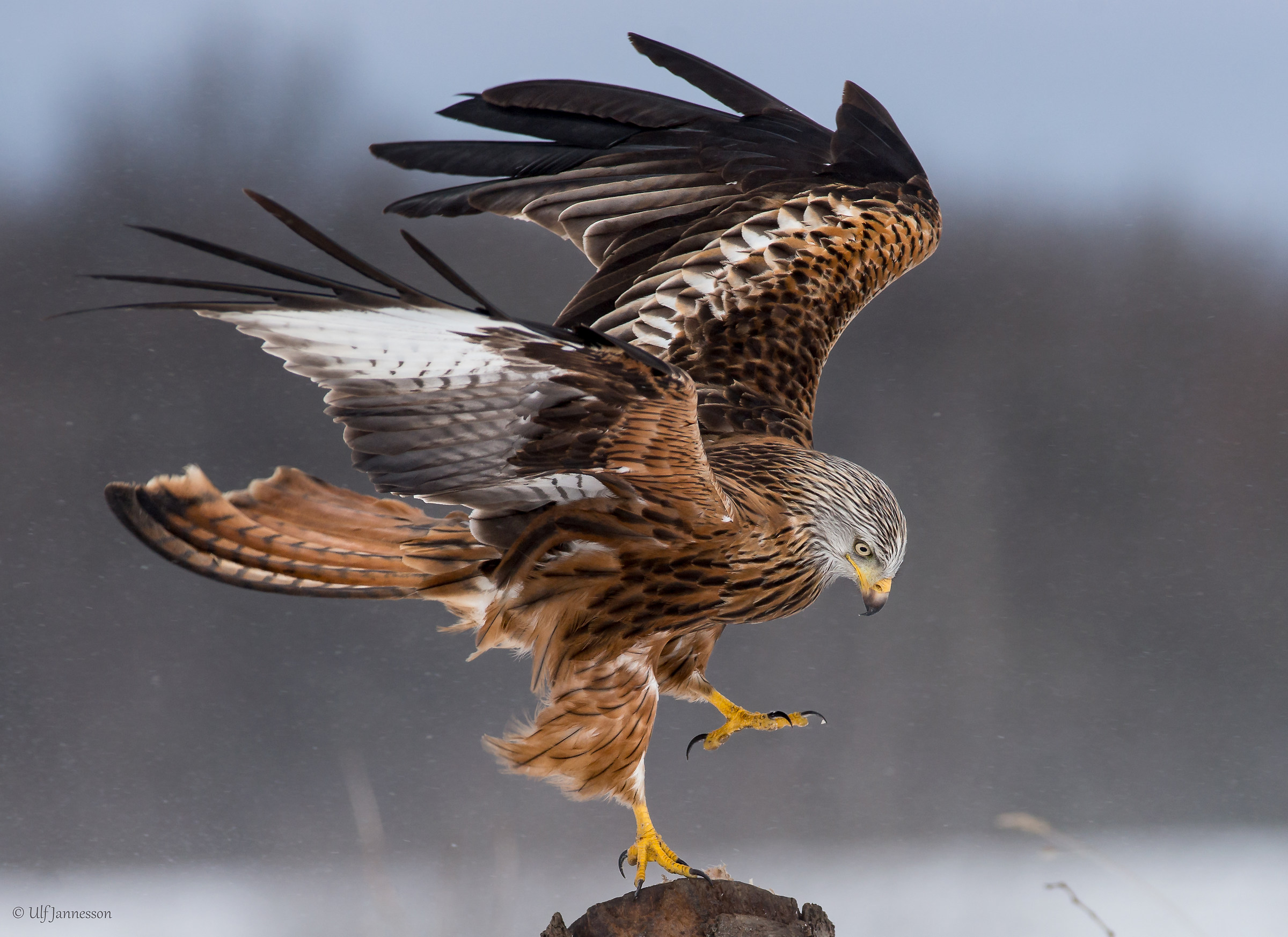 Red Kite. Concentrated landing...