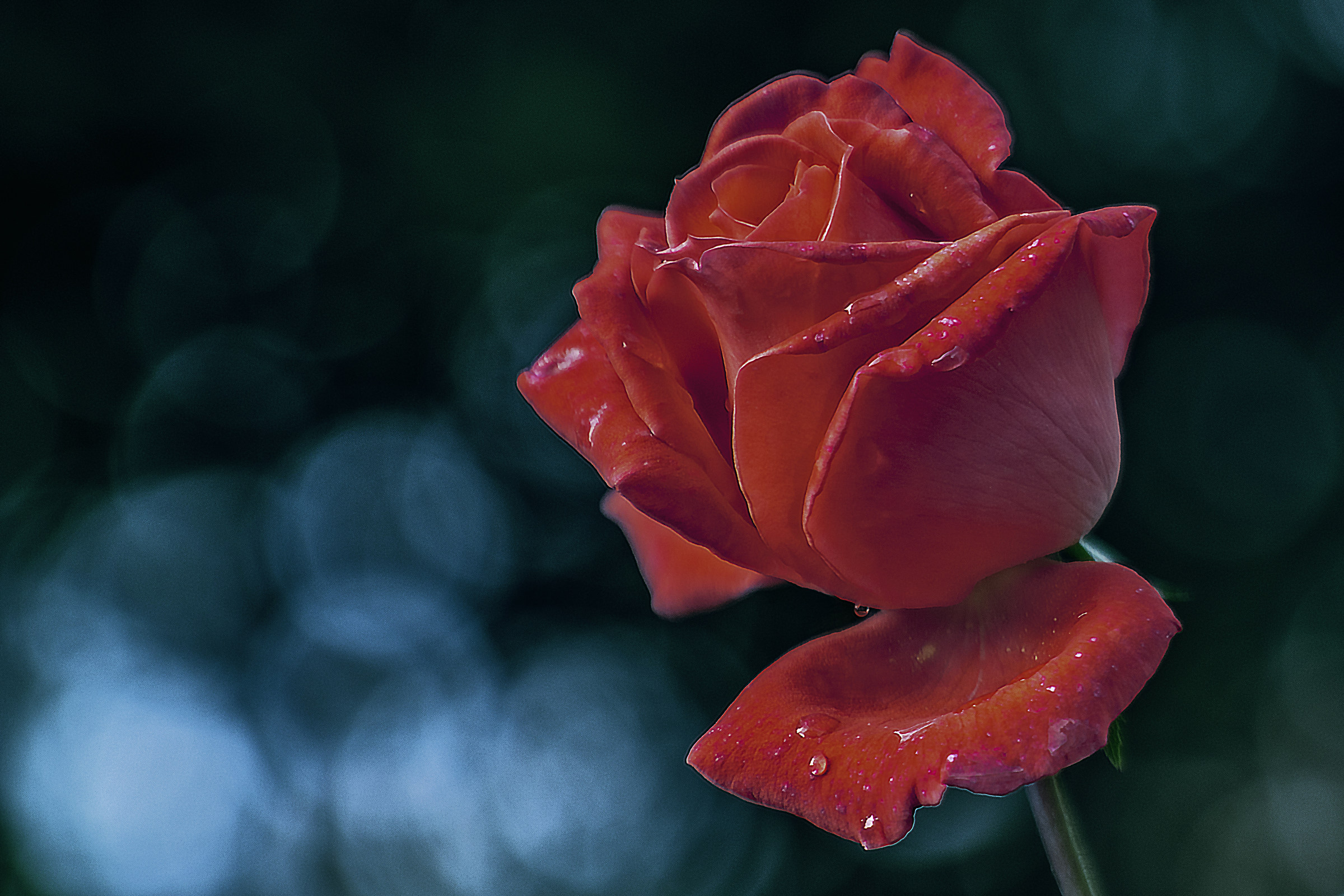 Just a Rose...