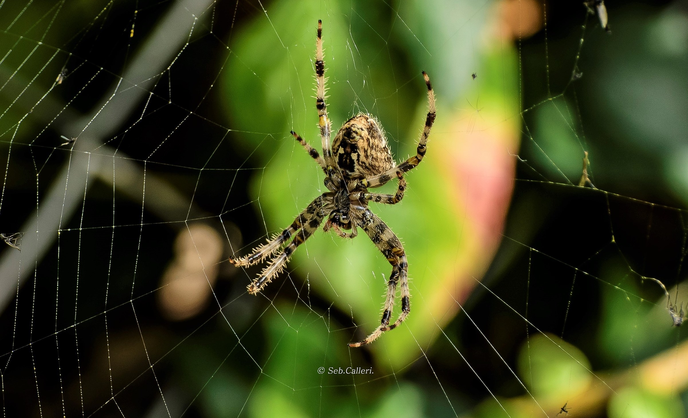 """the Spider geometra...""..."