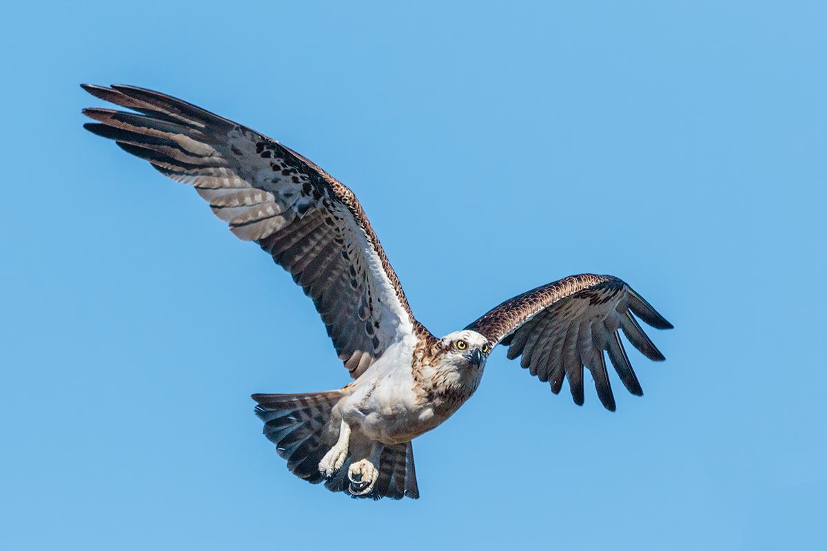 Eastern Osprey...