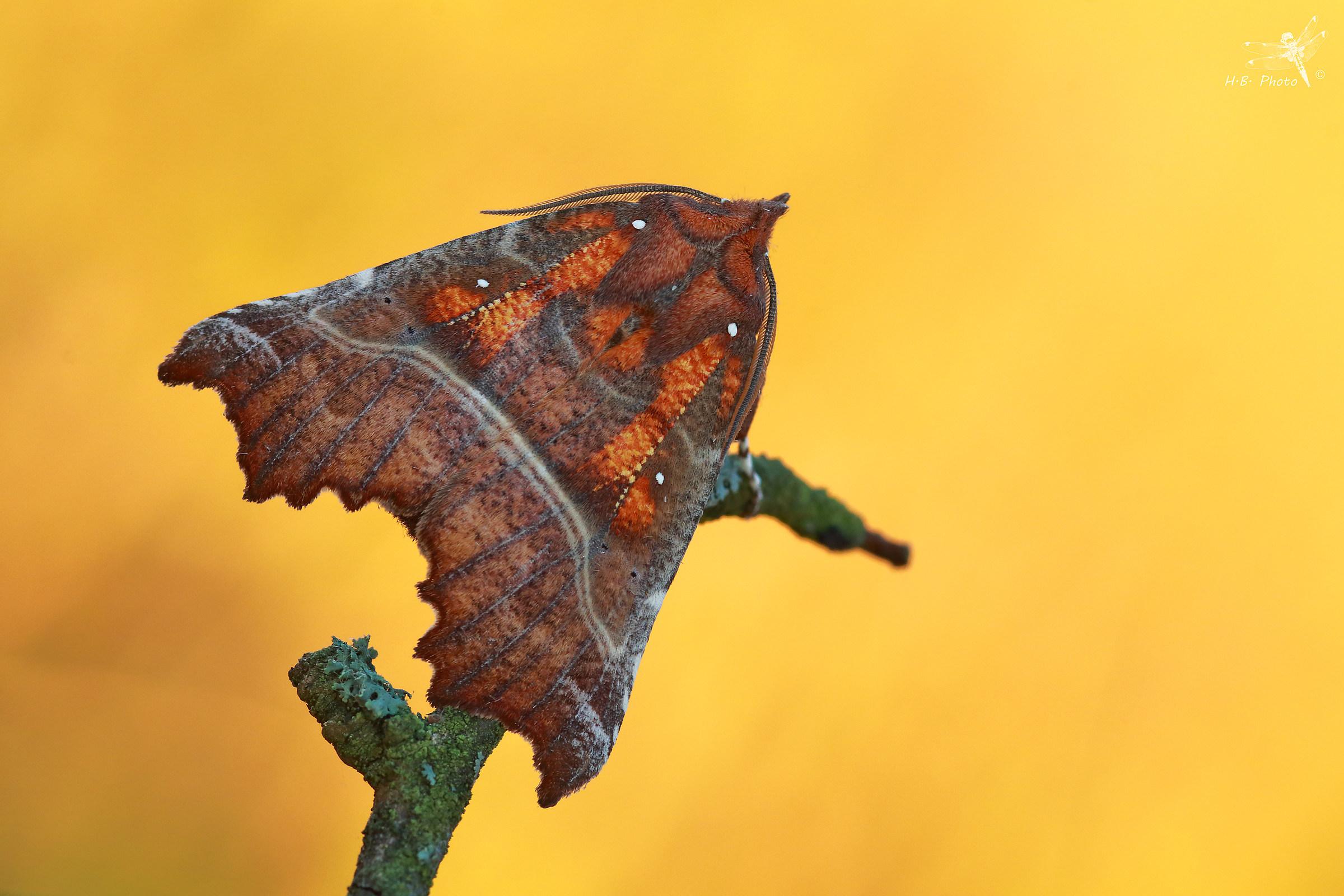 Scoliopteryx libatrix...