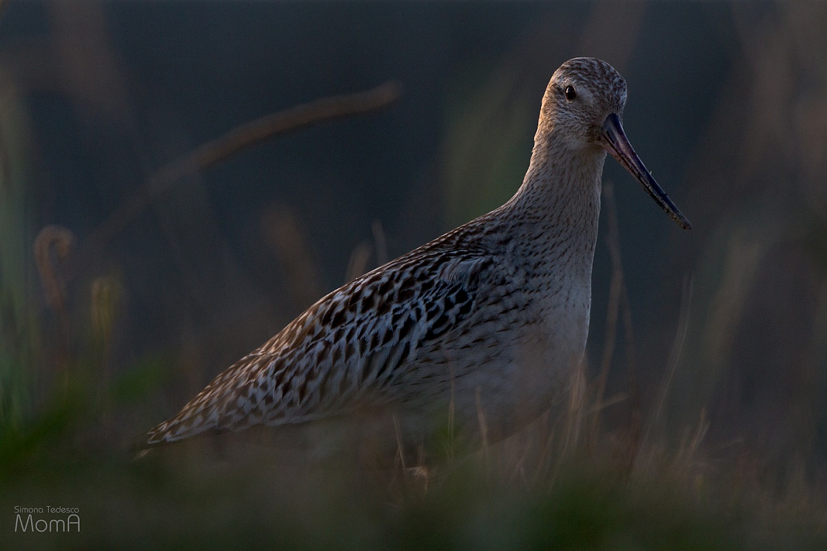 Bar-tailed Godwit - silhouette...