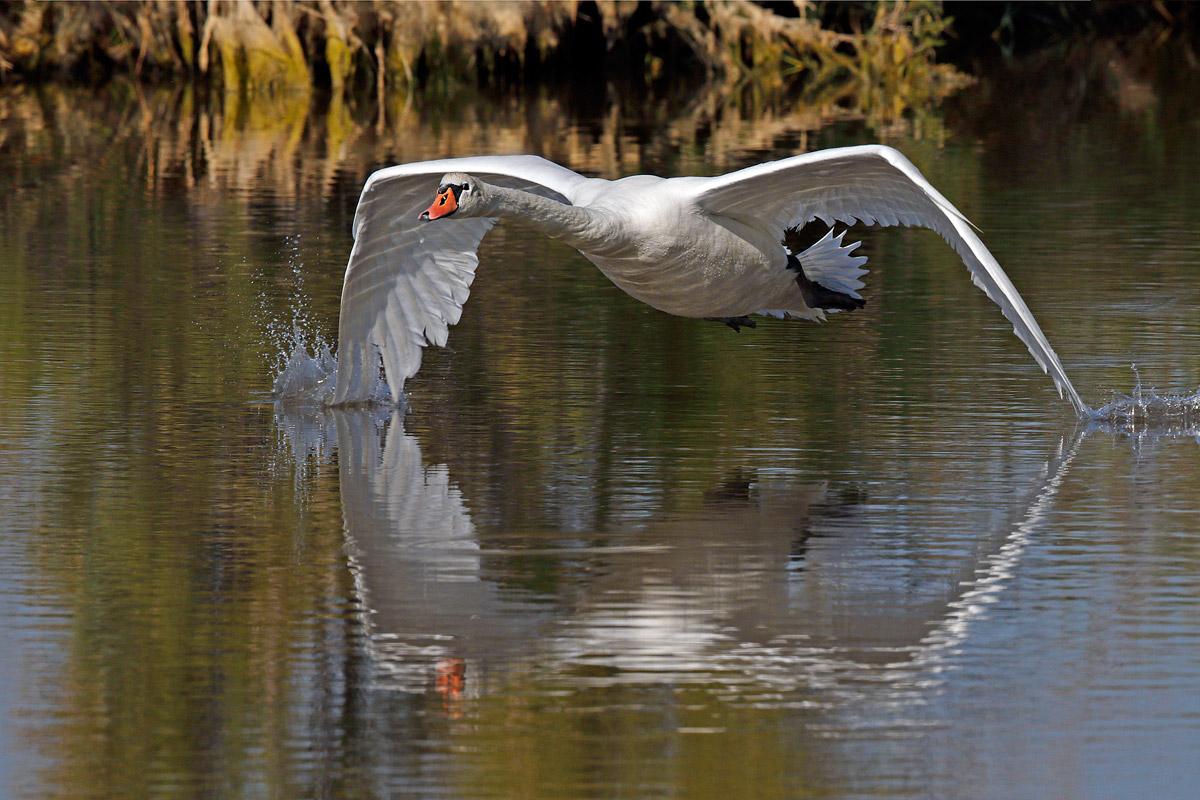 Royal Swan...