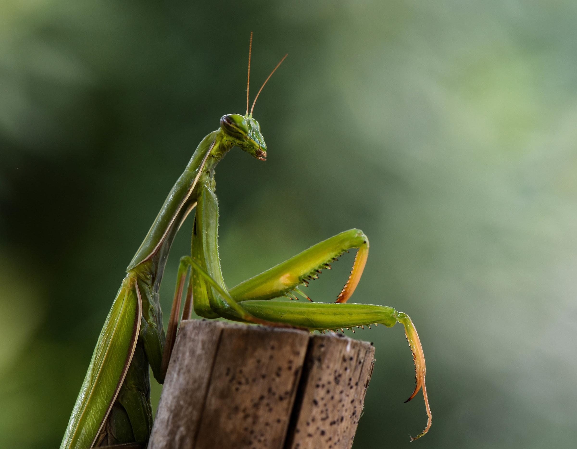 Mantis, half-bust....