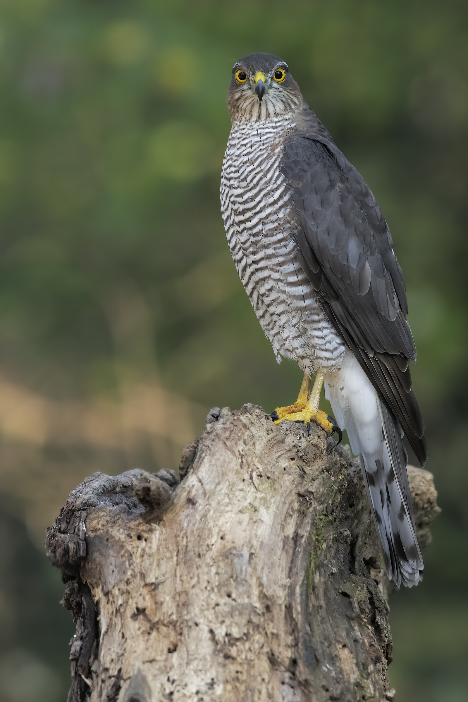 The look of the Sparrowhawk (female)...