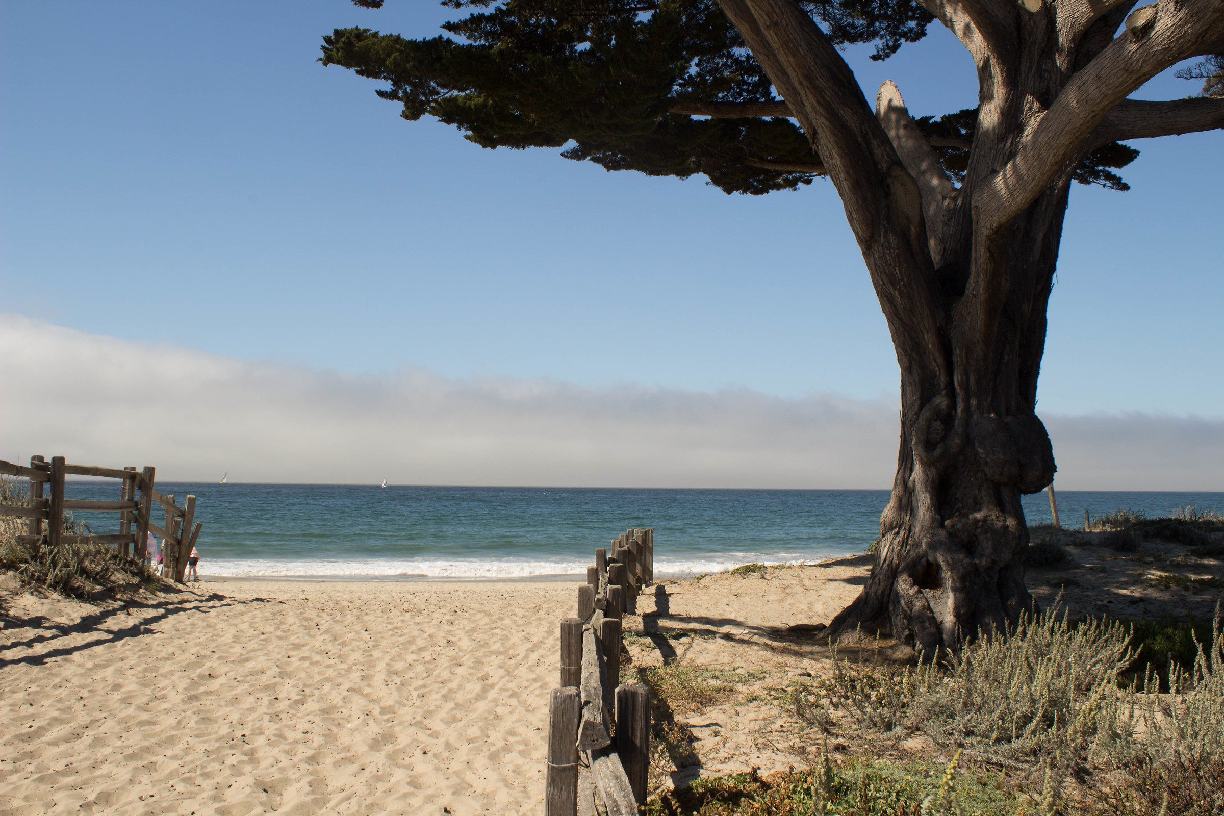 A tree, in Monterey...