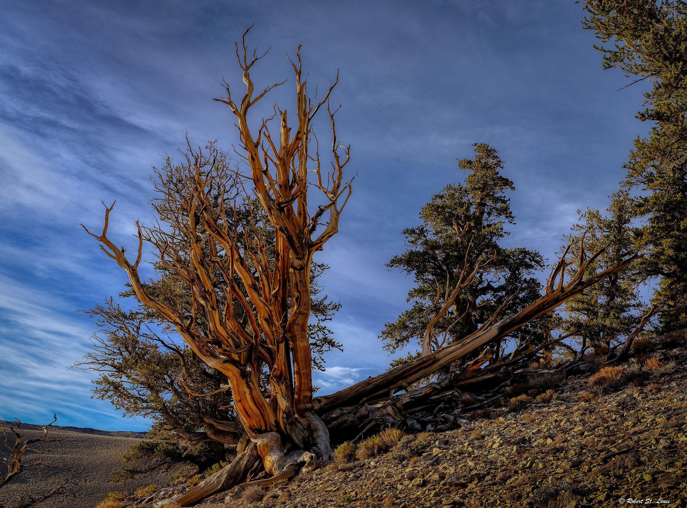Bristlecone Pine...