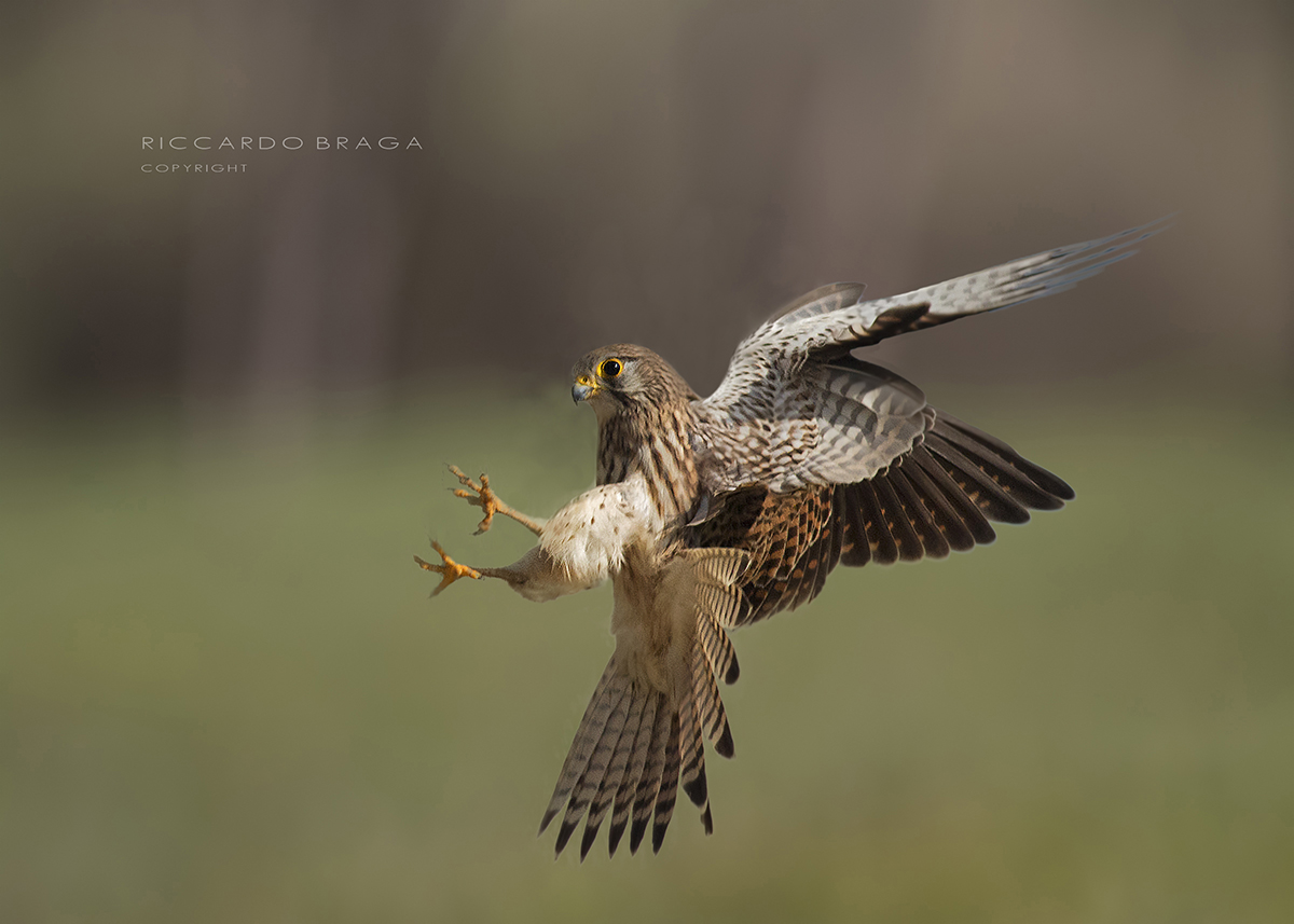 Female Kestrel...
