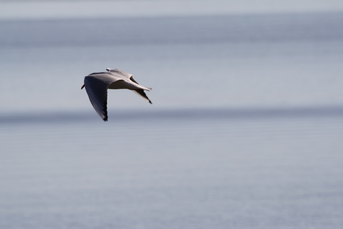 lone seagull...
