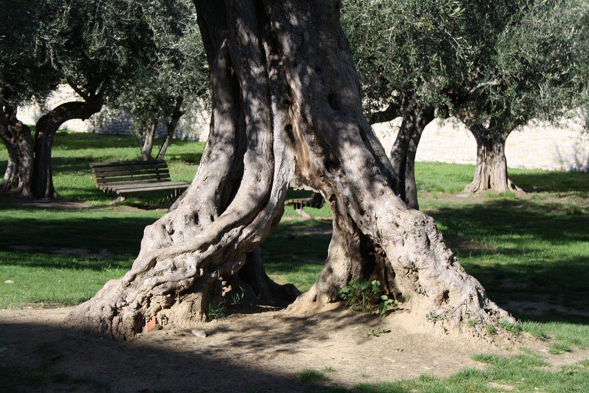 ancient olive tree...