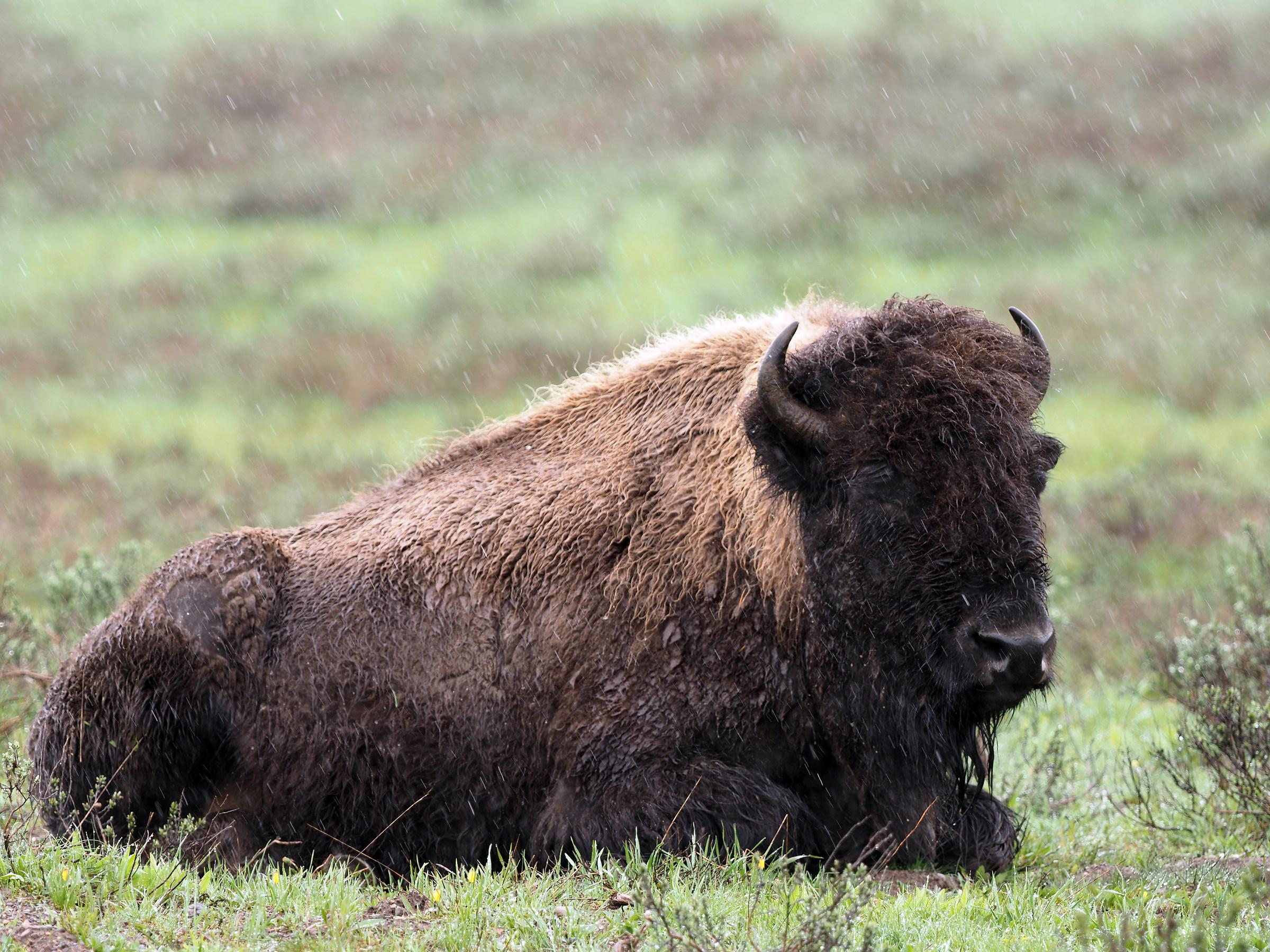 Yellowstone: Wild bison under snow...