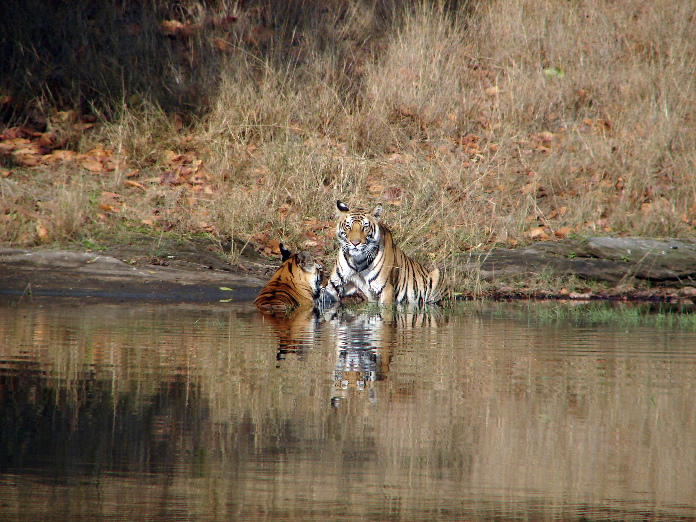 Bandhavgarh National Park: Tigers...