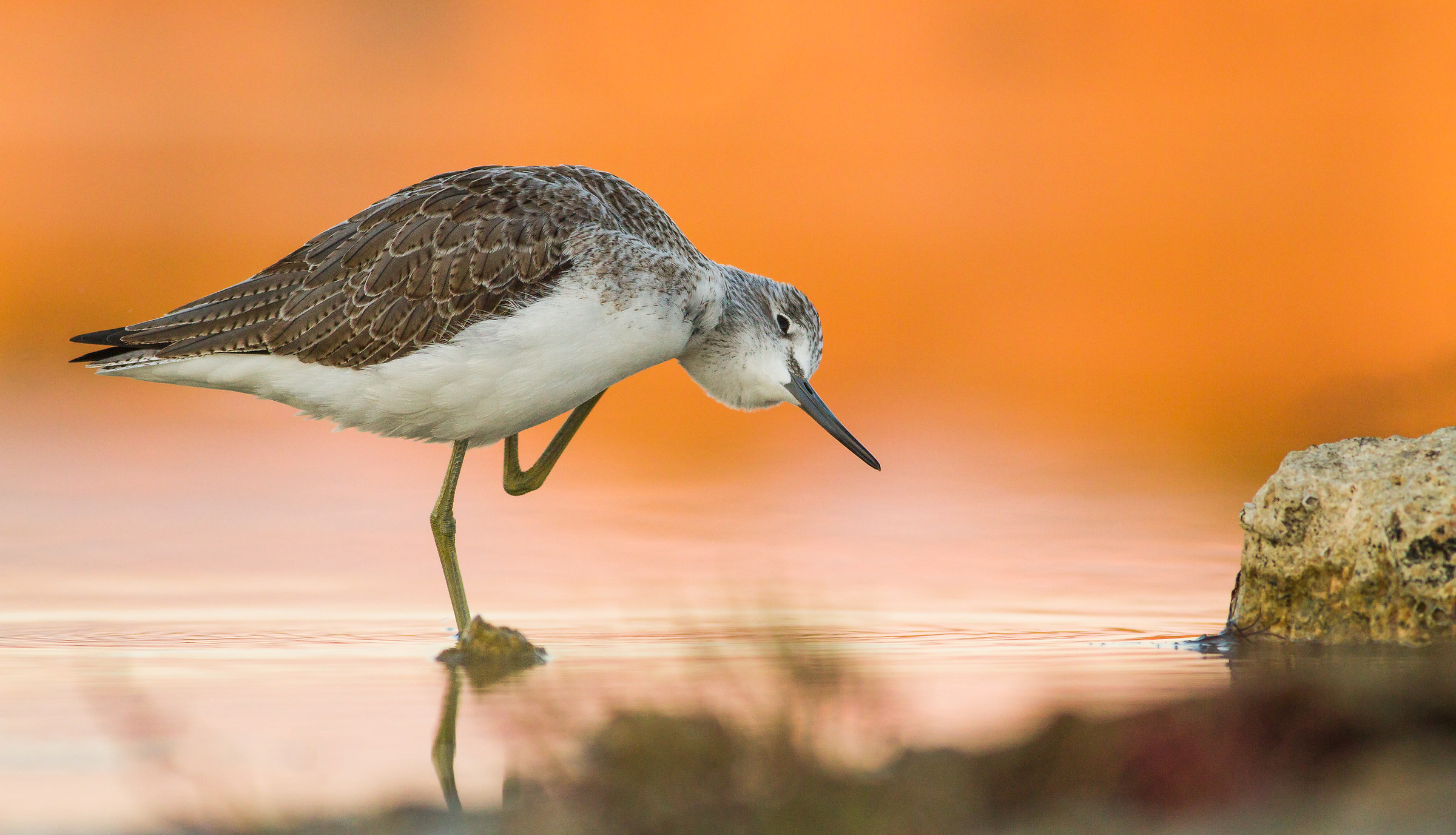 The mystery  in the glow ( greenshank )...