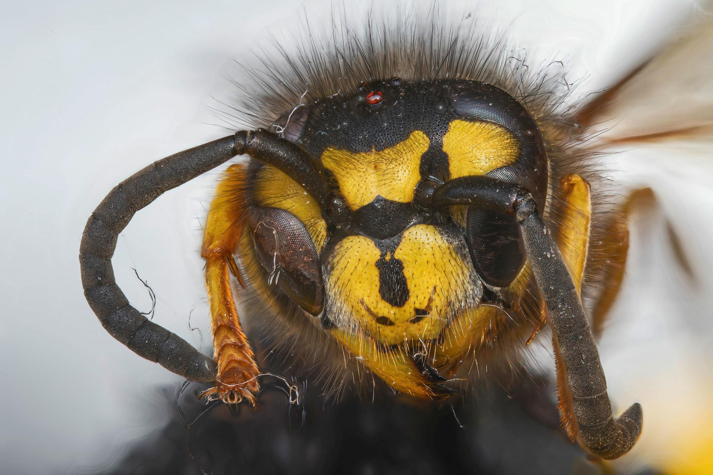 Dead wasp-proof of Venus Laowa...