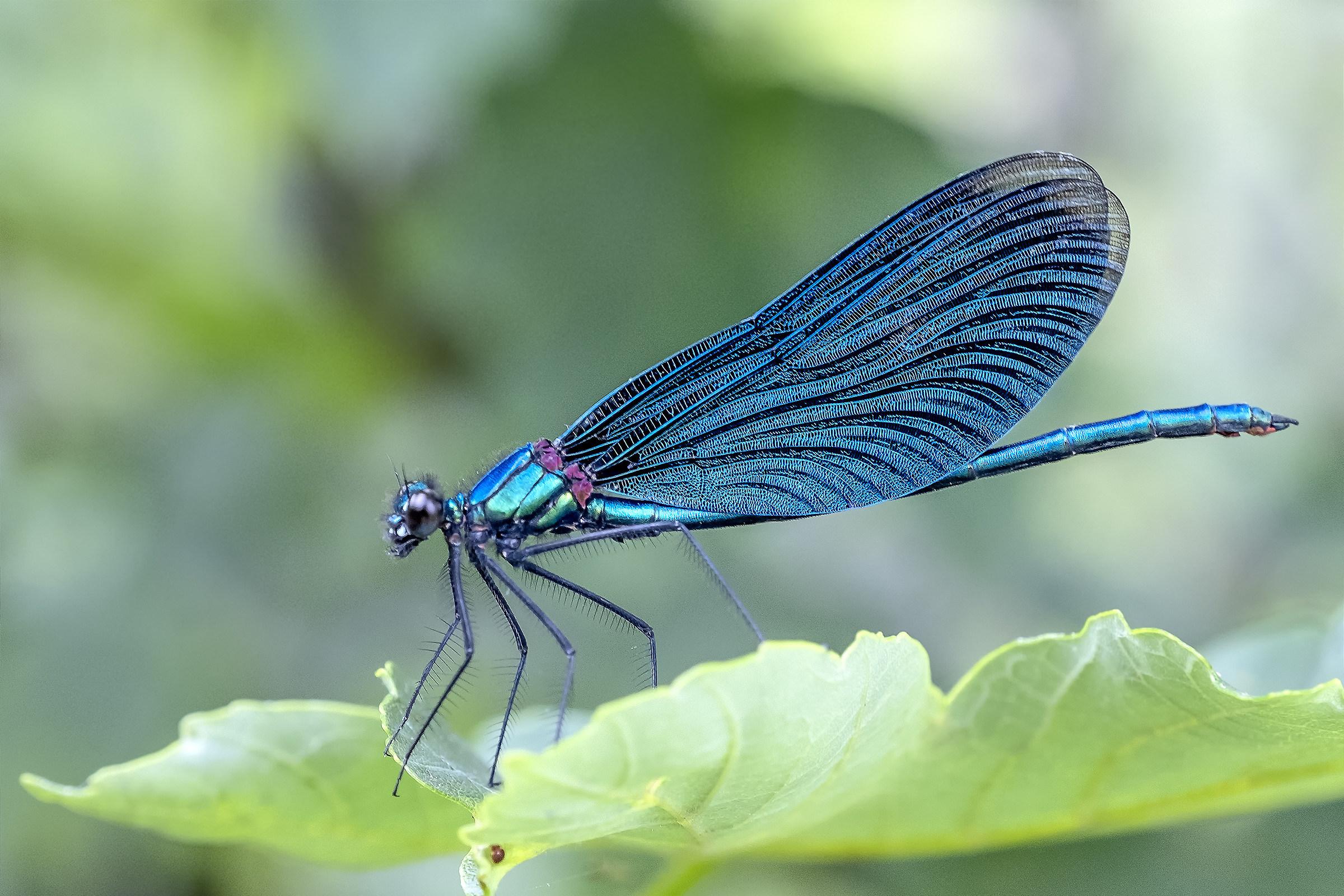 Croatian dragonfly...