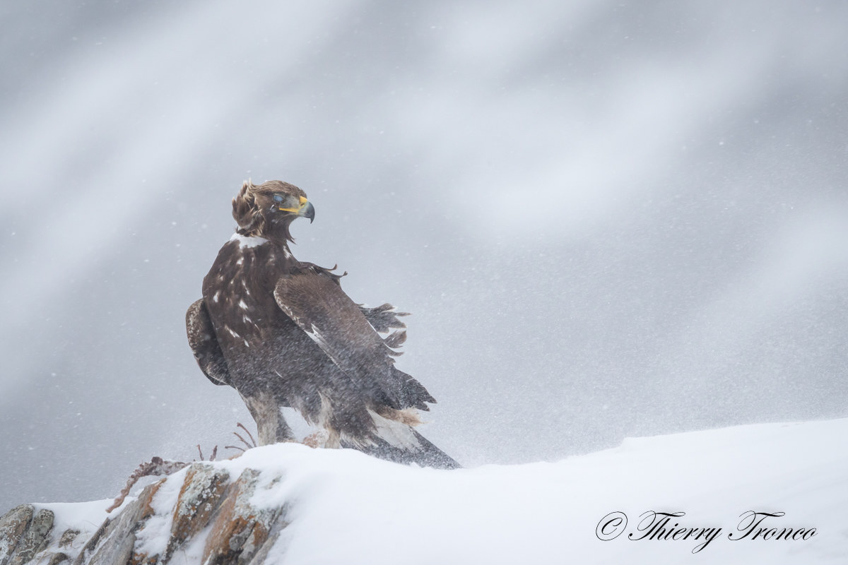 Royal Eagle...