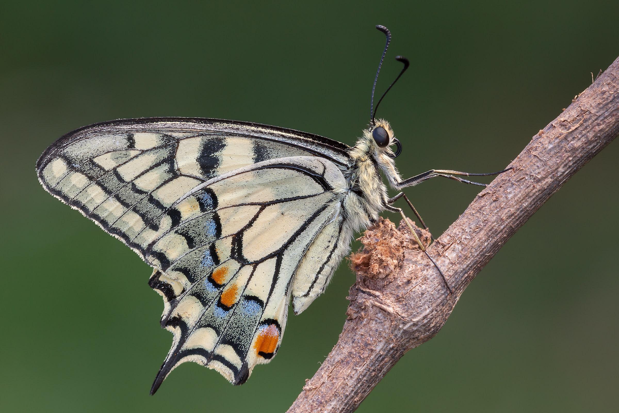 Papilio machaon (Linnaeus, 1758)...