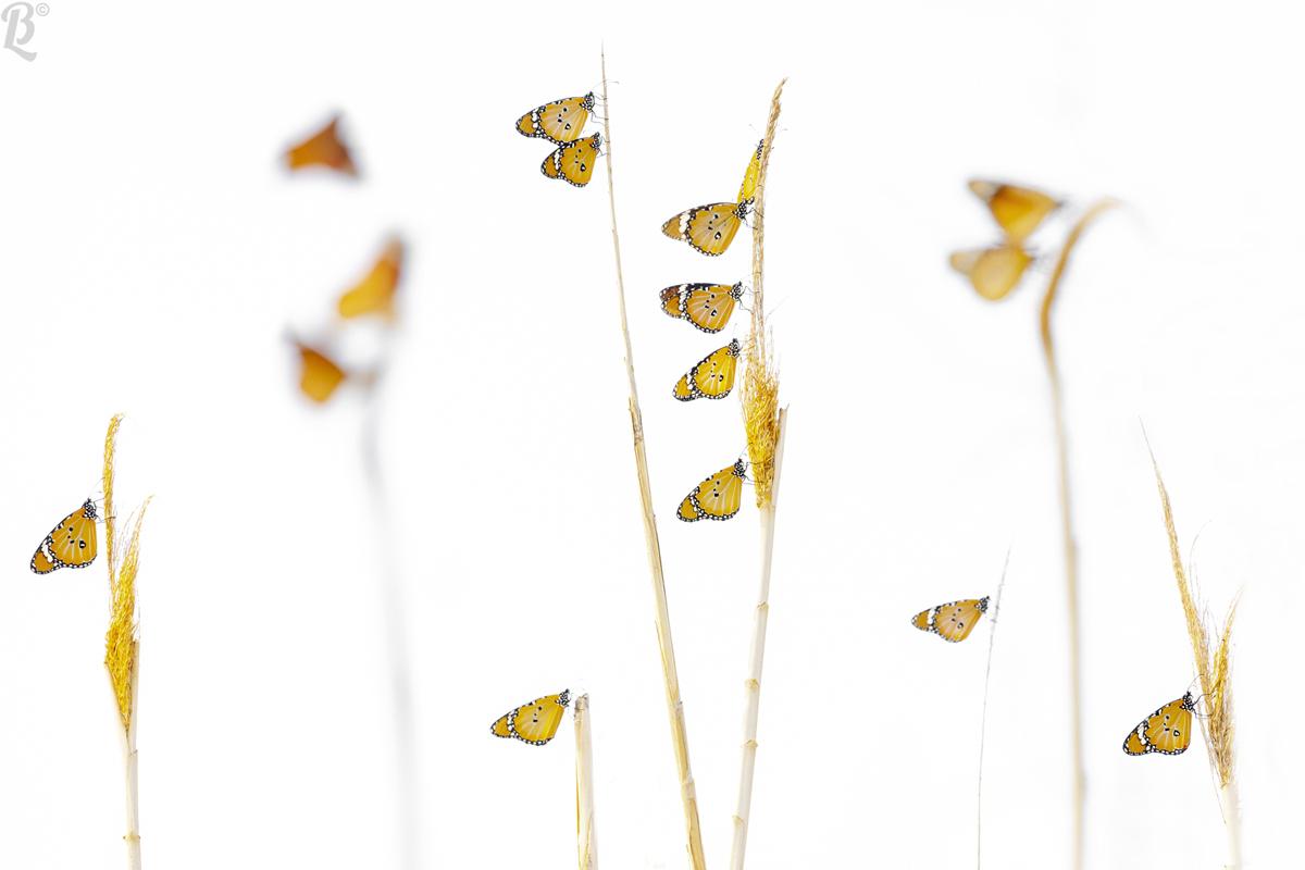 Monarch butterflies...