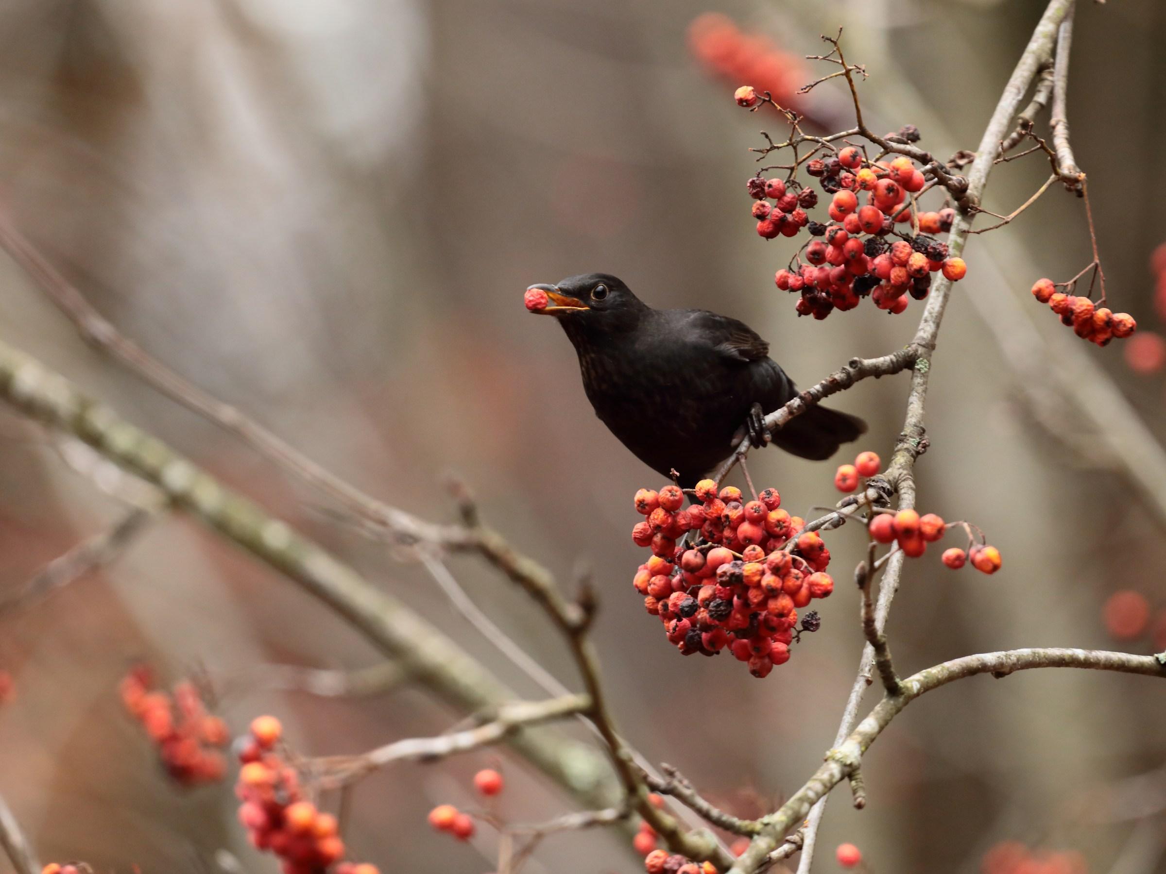 Blackbird with Berry...
