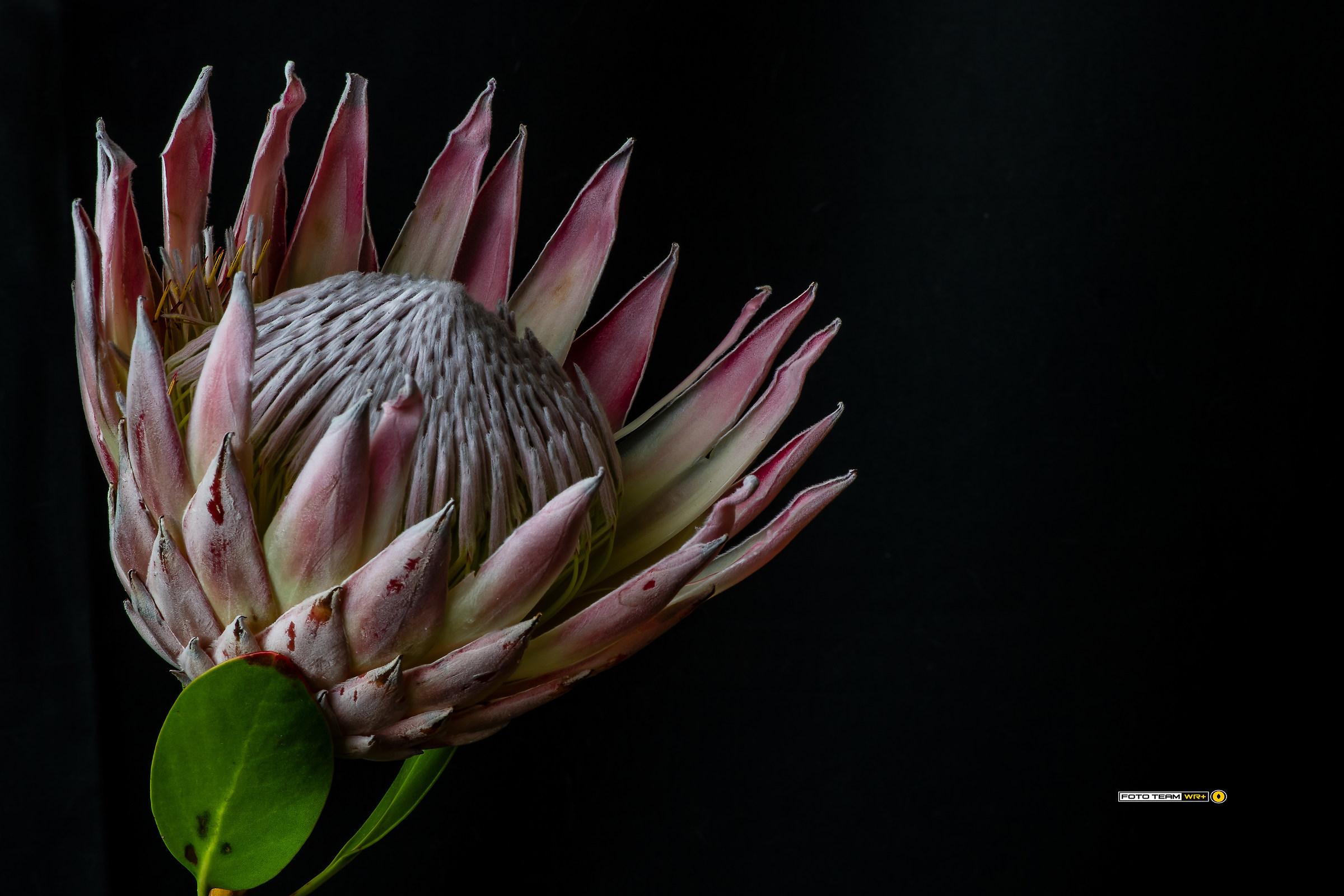 Protea cynaroides...