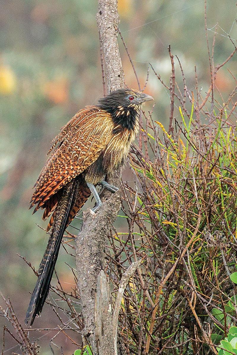 Pheasant Coucal...