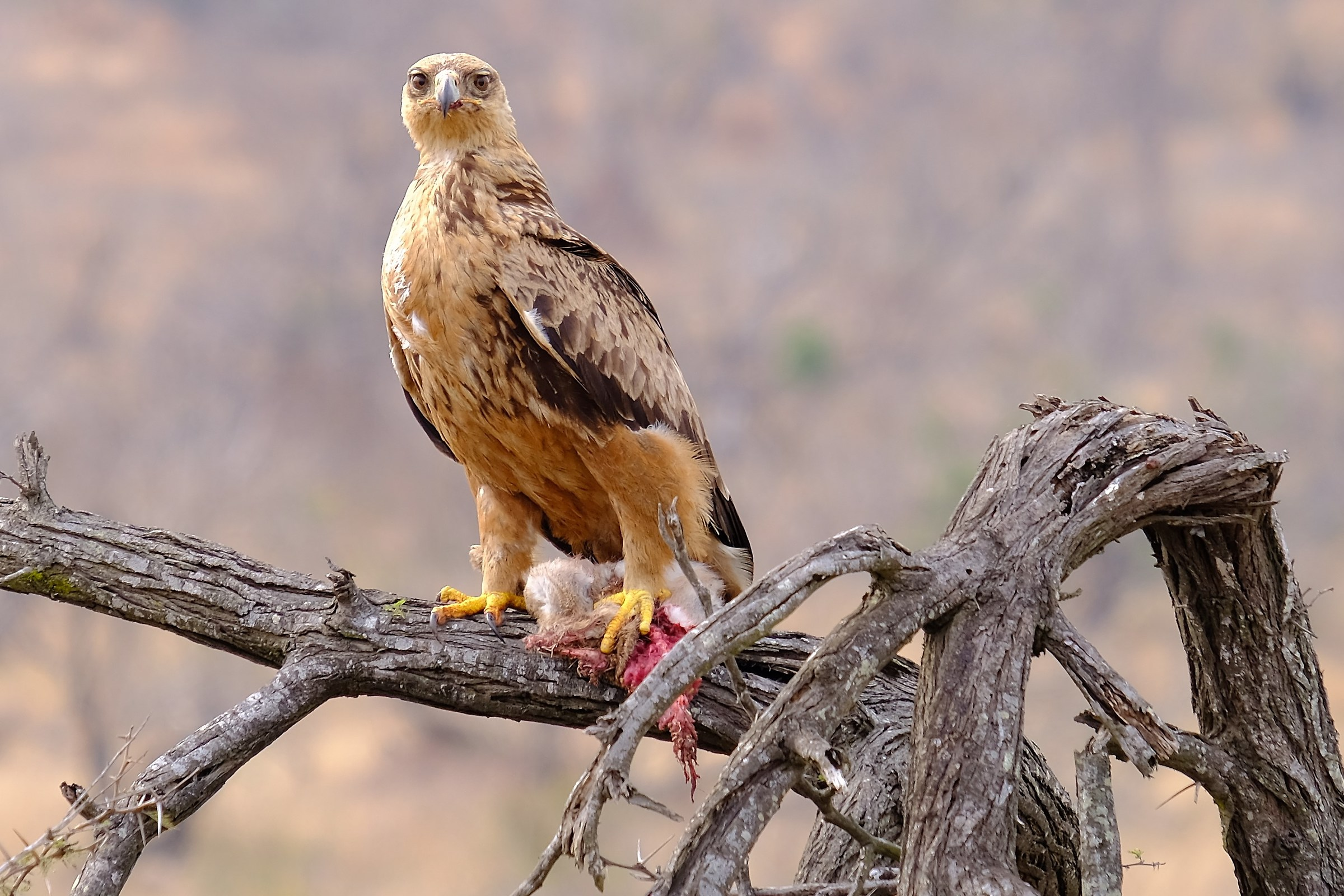 Aquila Rapax dopo la cattura della preda...