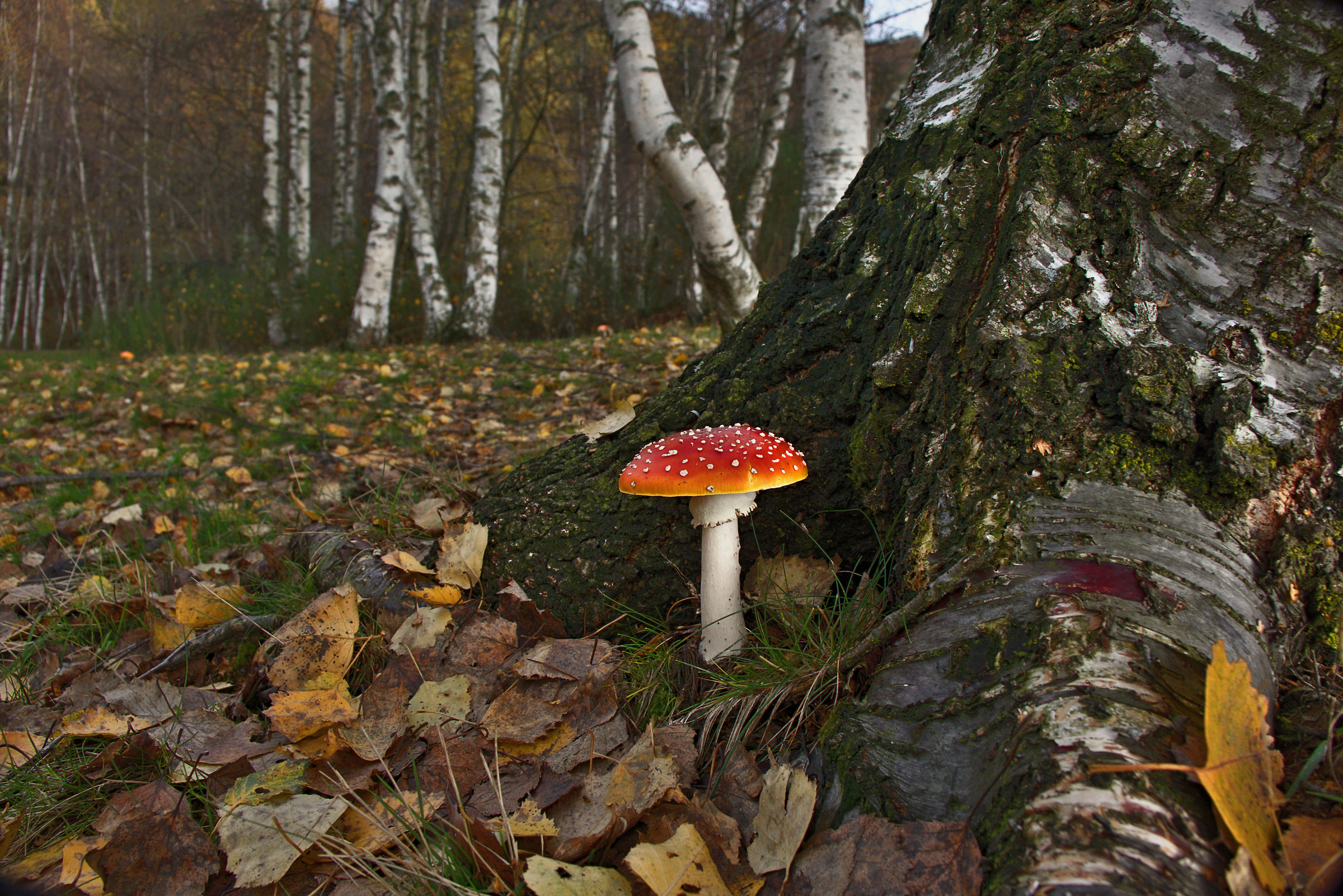 Amanita muscaria among the birch roots...