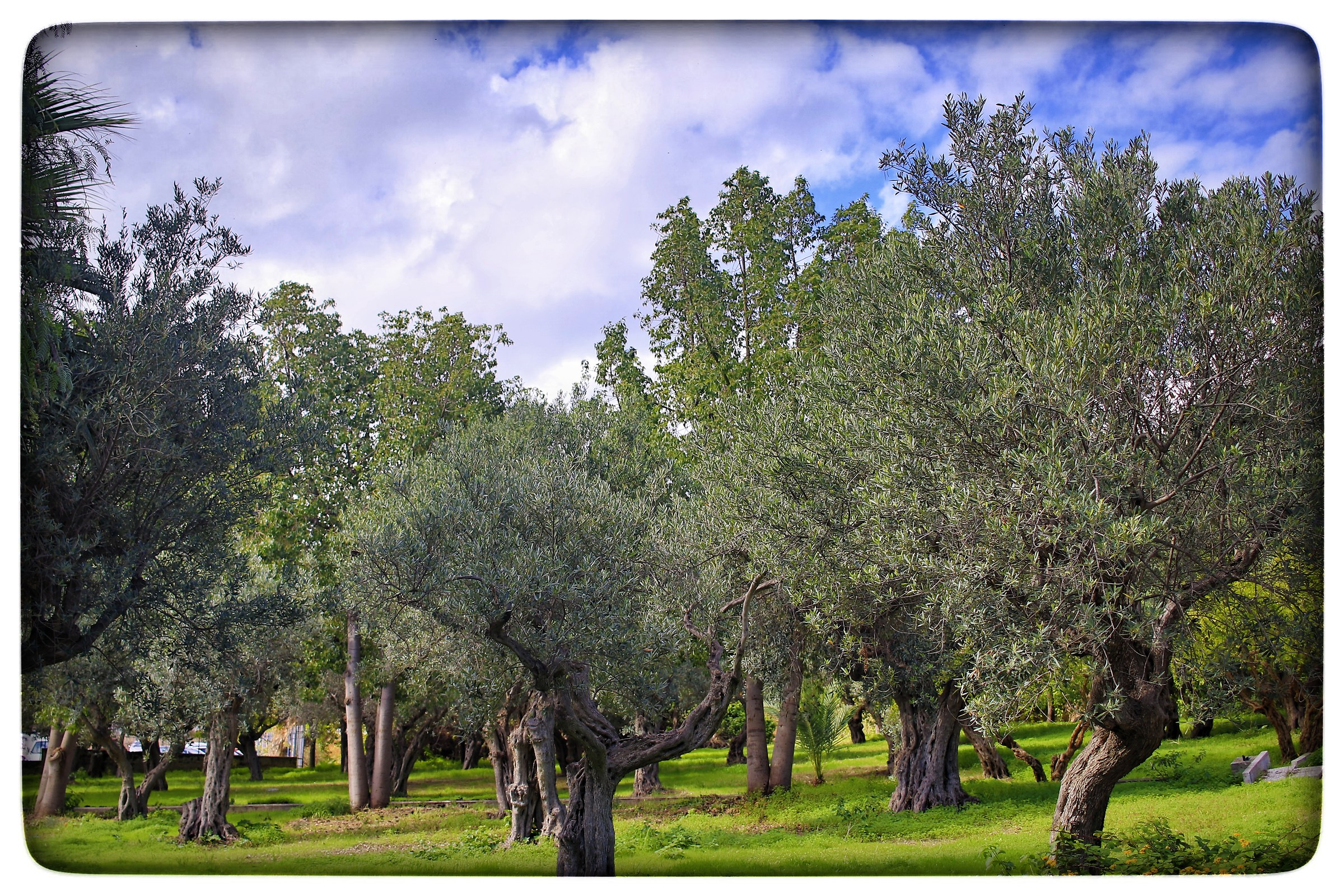 The olive trees of the baths....