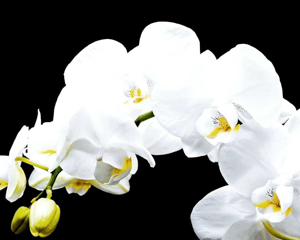 The orchid: The Queen of flowers...