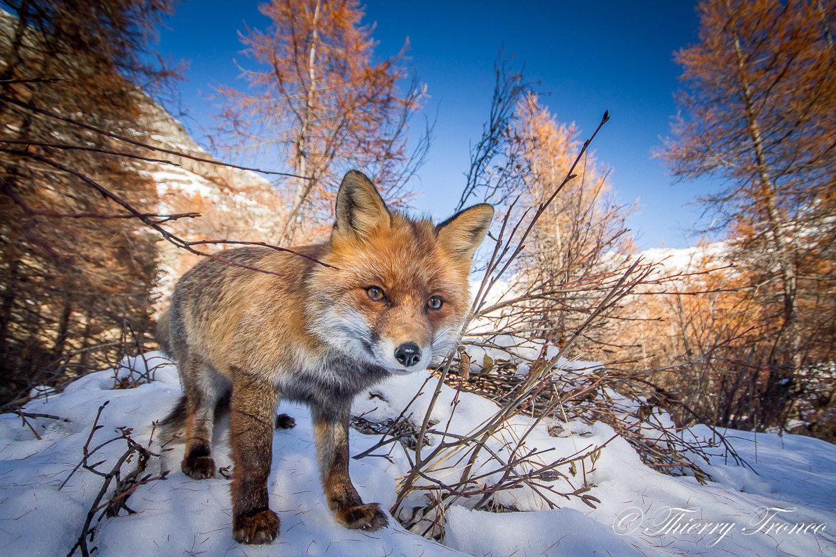 The Fox...