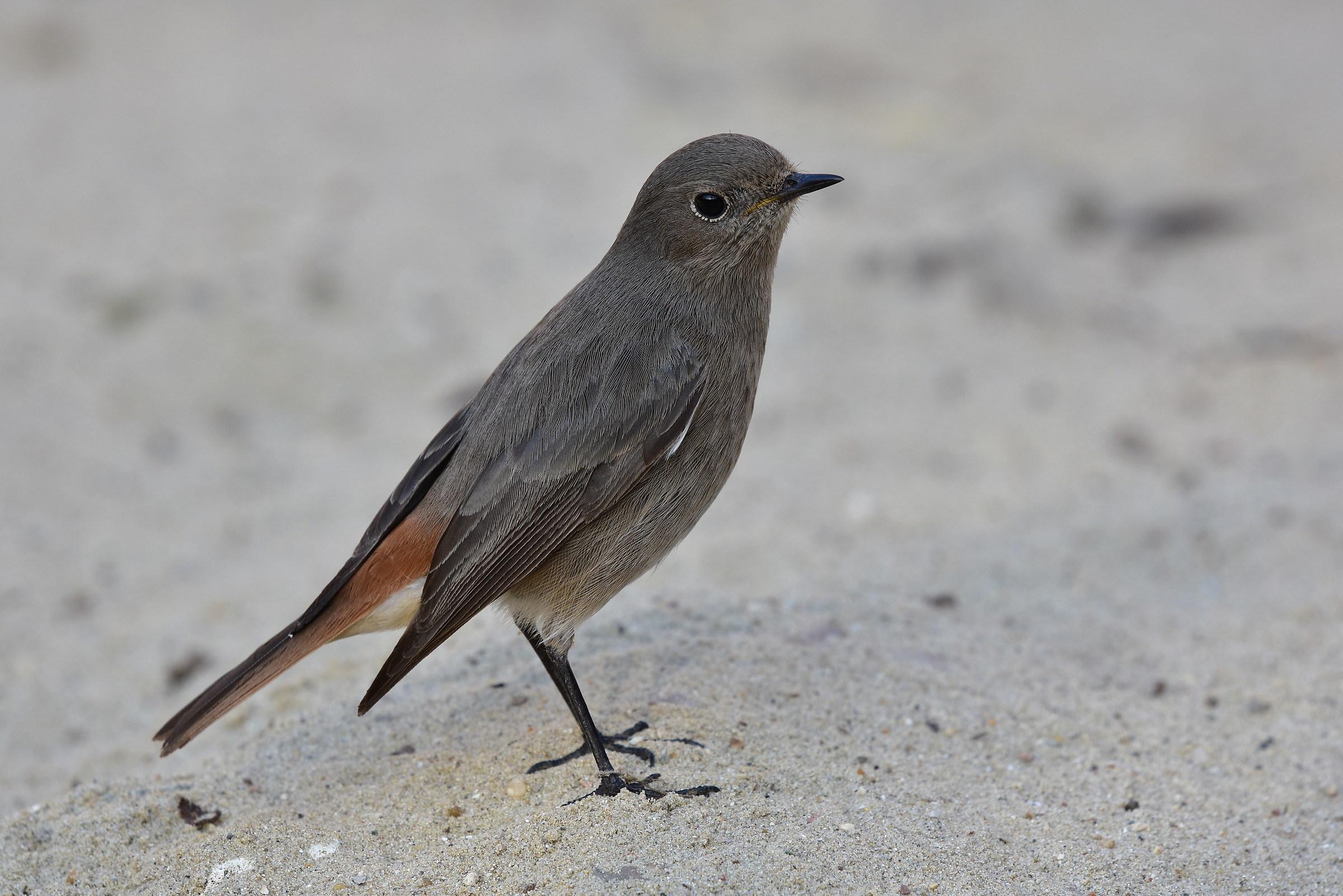 Black Redstart ...