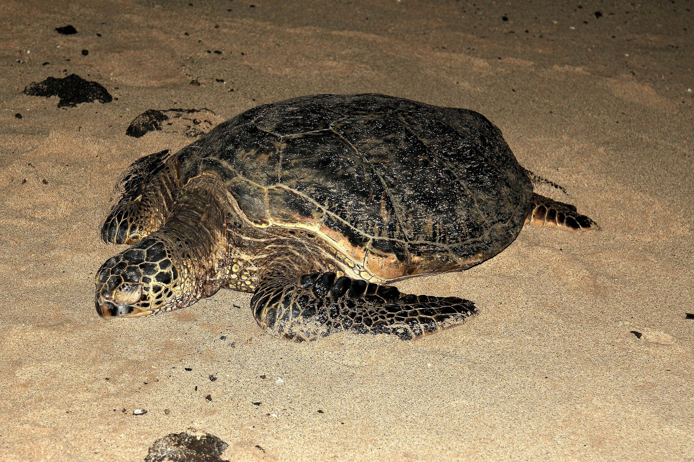 Tartaruga di mare Hawksbill (Eretmochelys imbricata) ...