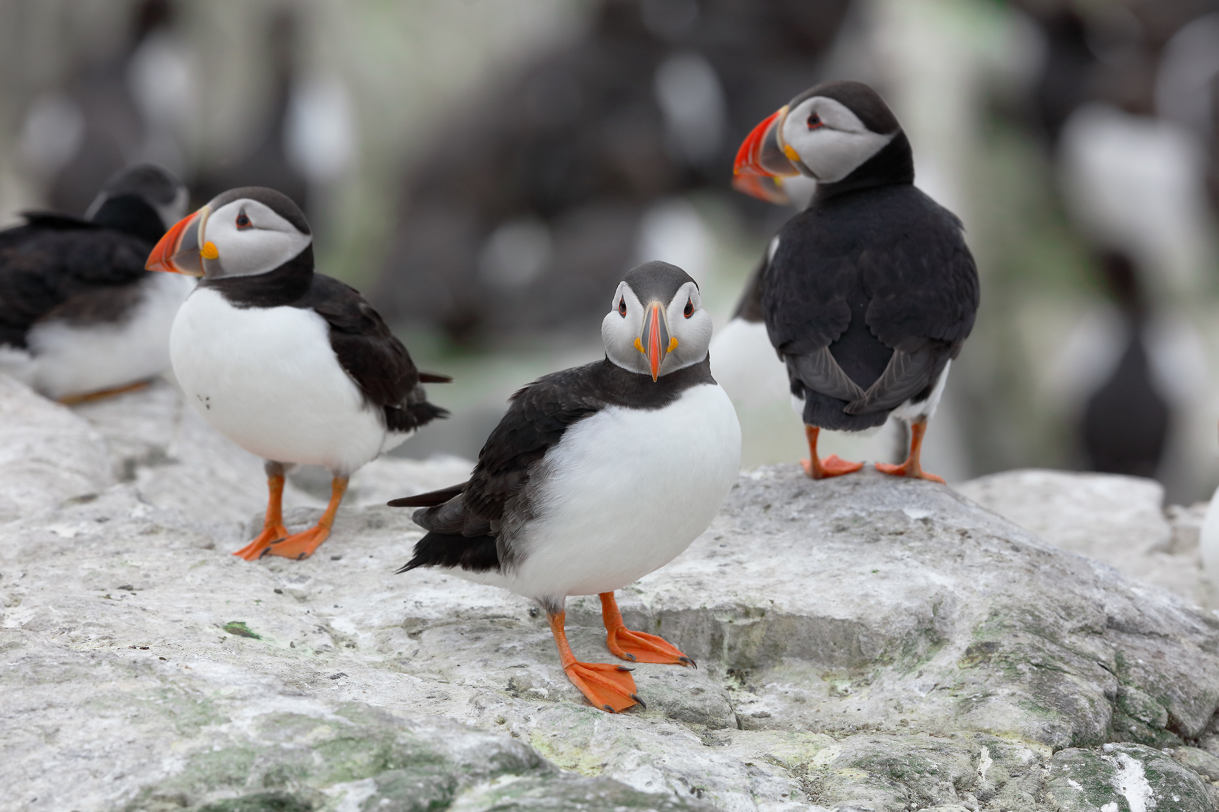 Group of Puffin...