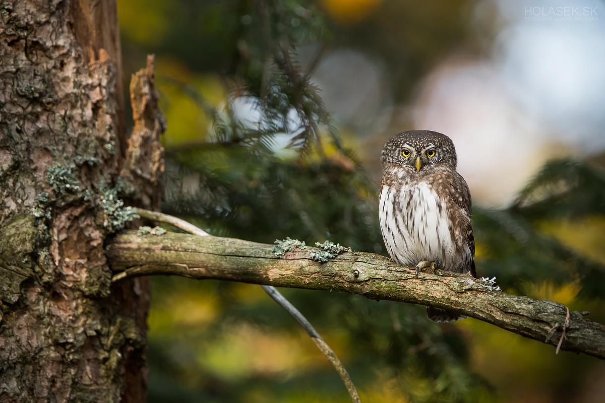 Little owl on the fir...