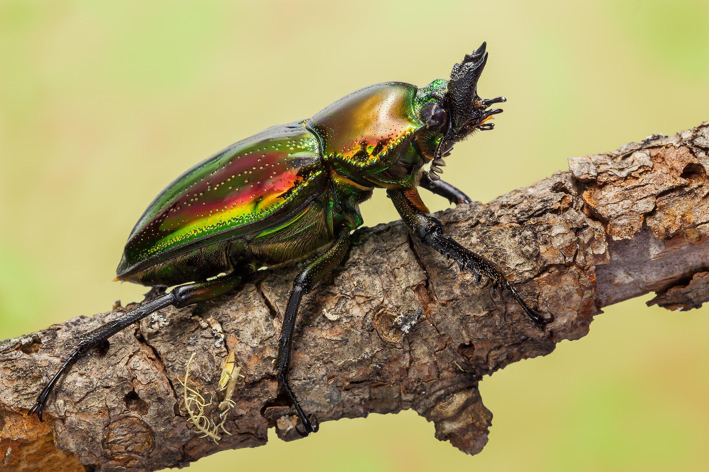 Lamprima Adolphinae (Gestro, 1875)...
