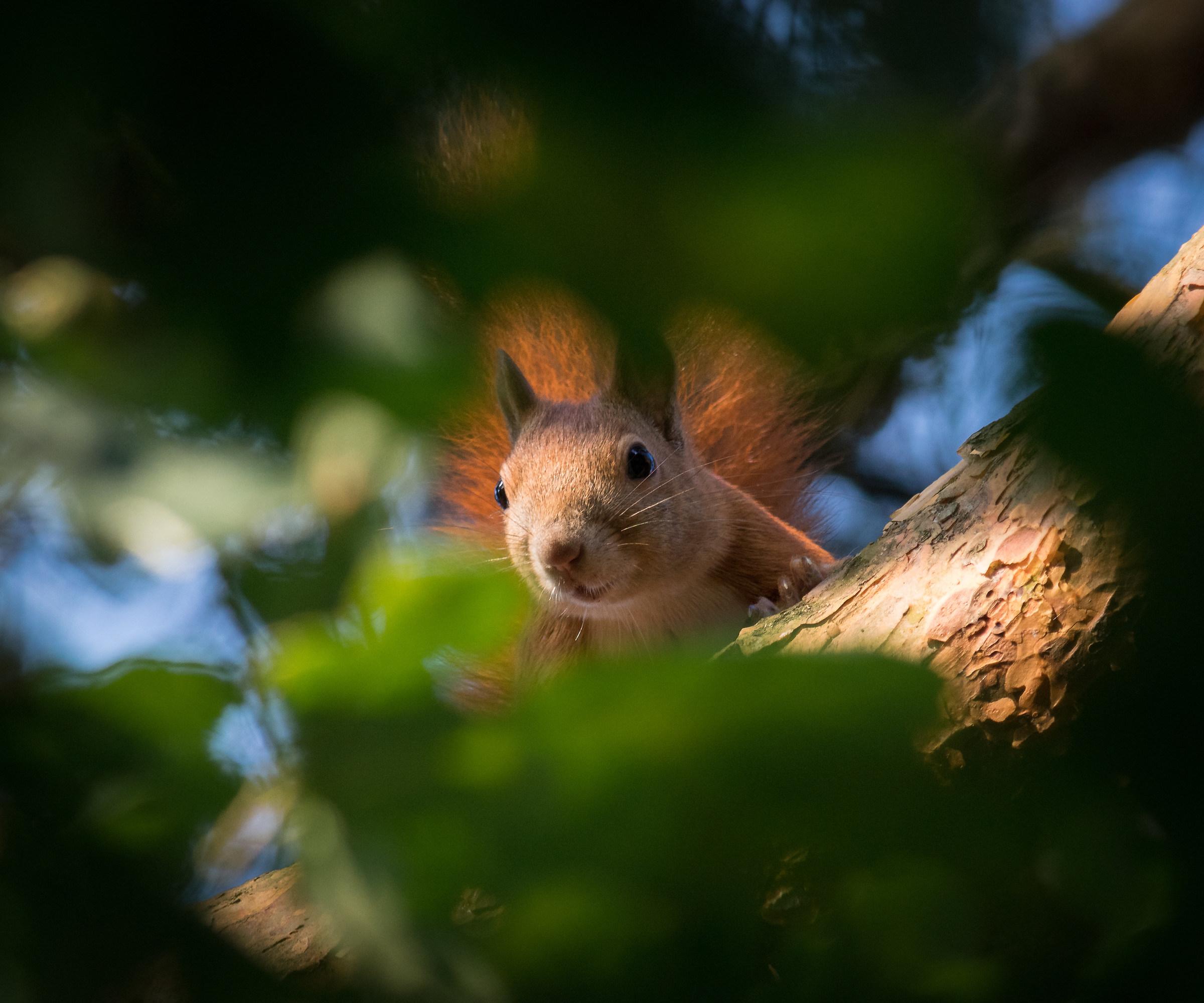 Red squirrel (Sciurus vulgaris)...