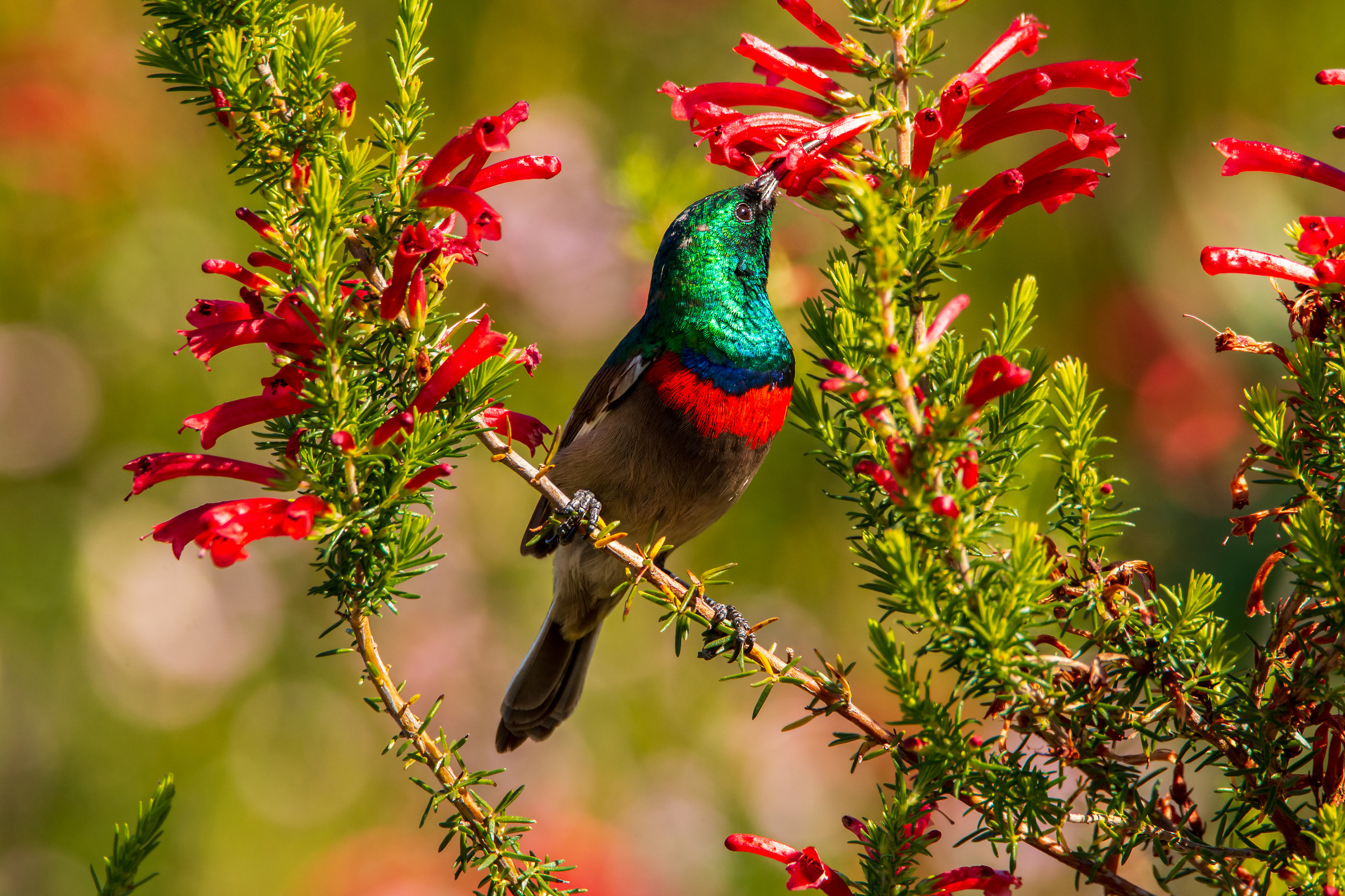 Southern Double-collared Sunbird...